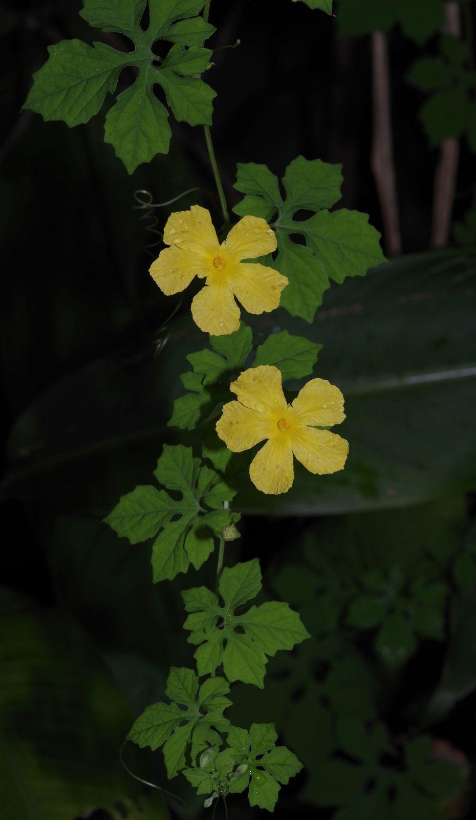 Momordica charantia (sorossi)