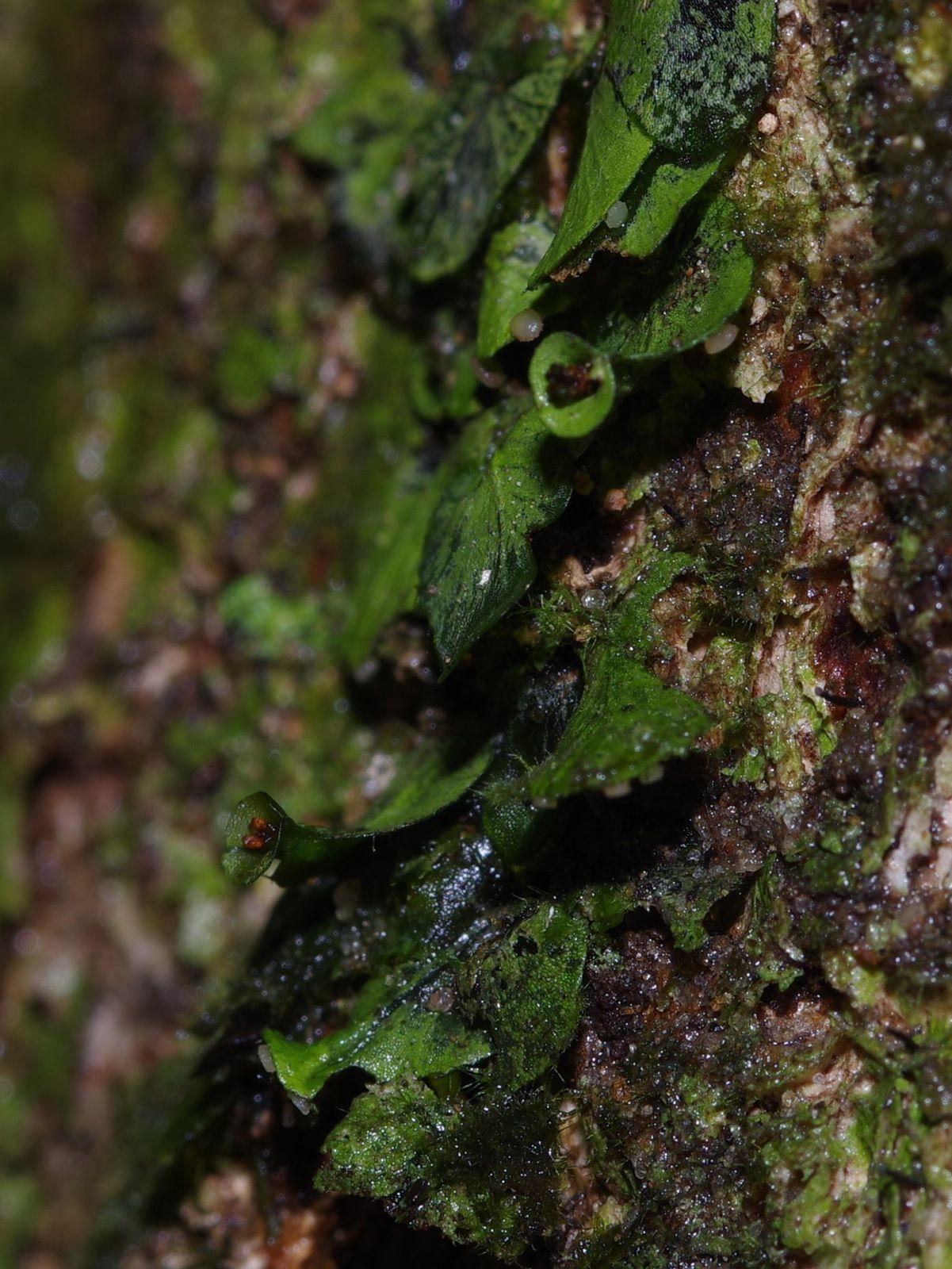 Didymoglossum pinnatinervium