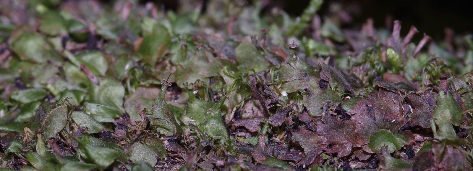 Didymoglossum punctatum subsp. labiatum