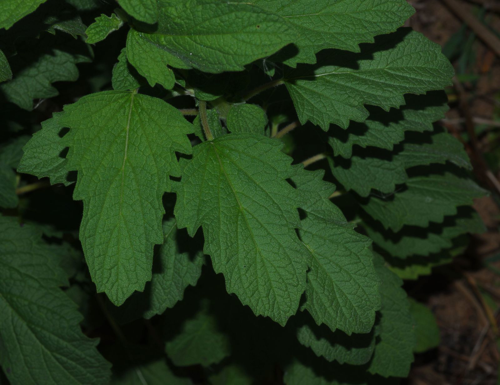 Sesamum radiatum (sésame)