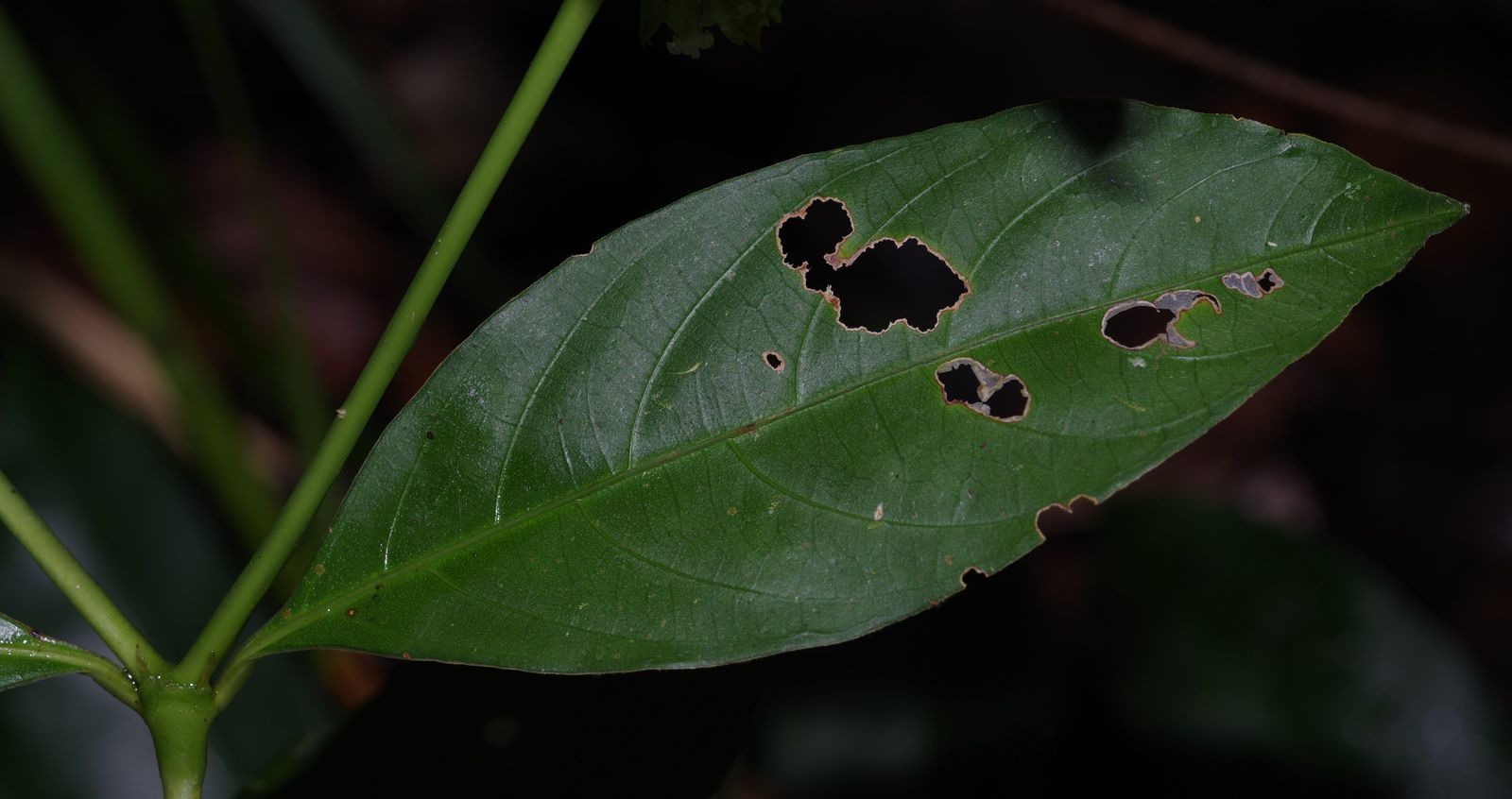 Palicourea gracilenta