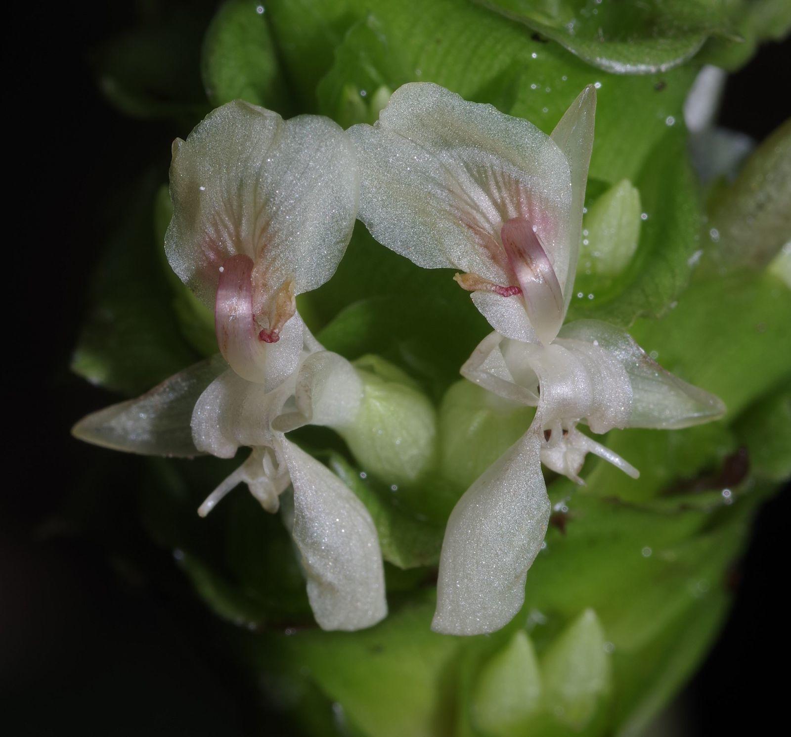 Goeppertia maasiorum