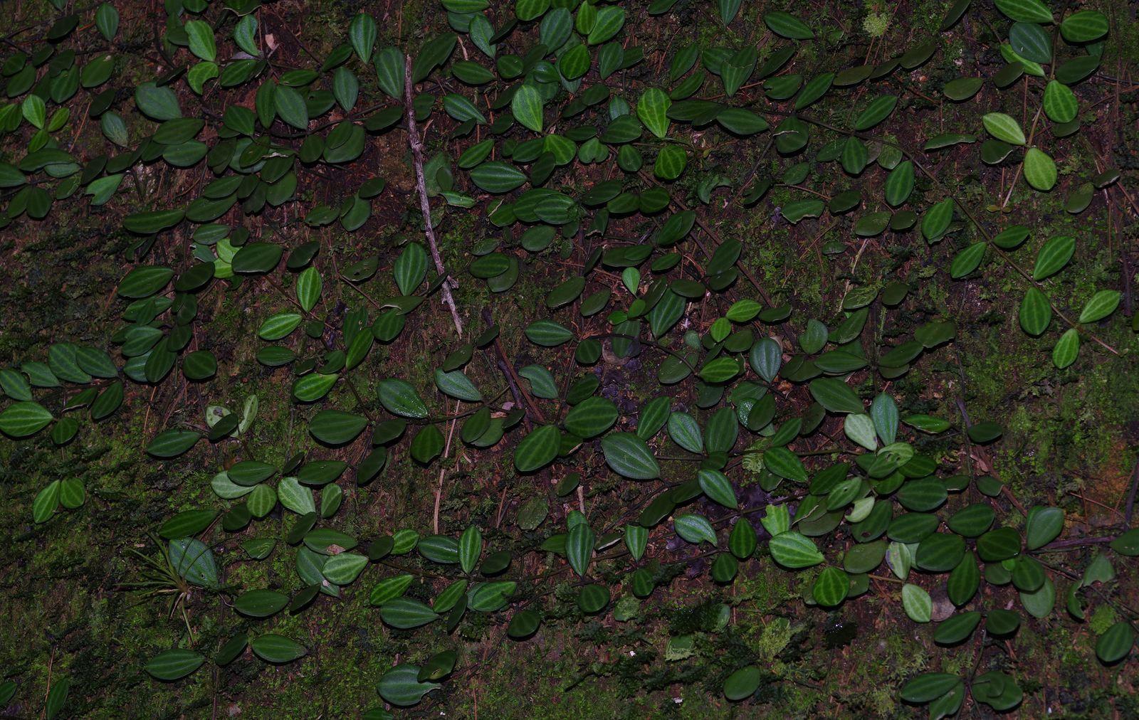 Peperomia quadrangularis