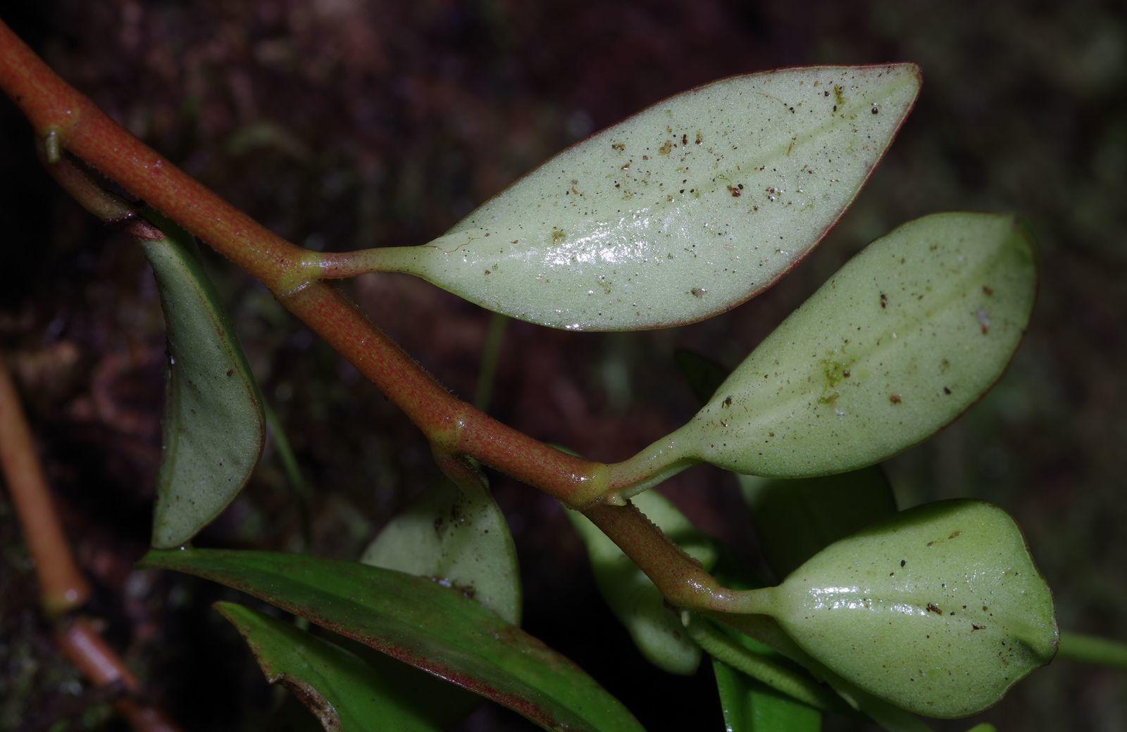 Peperomia glabella