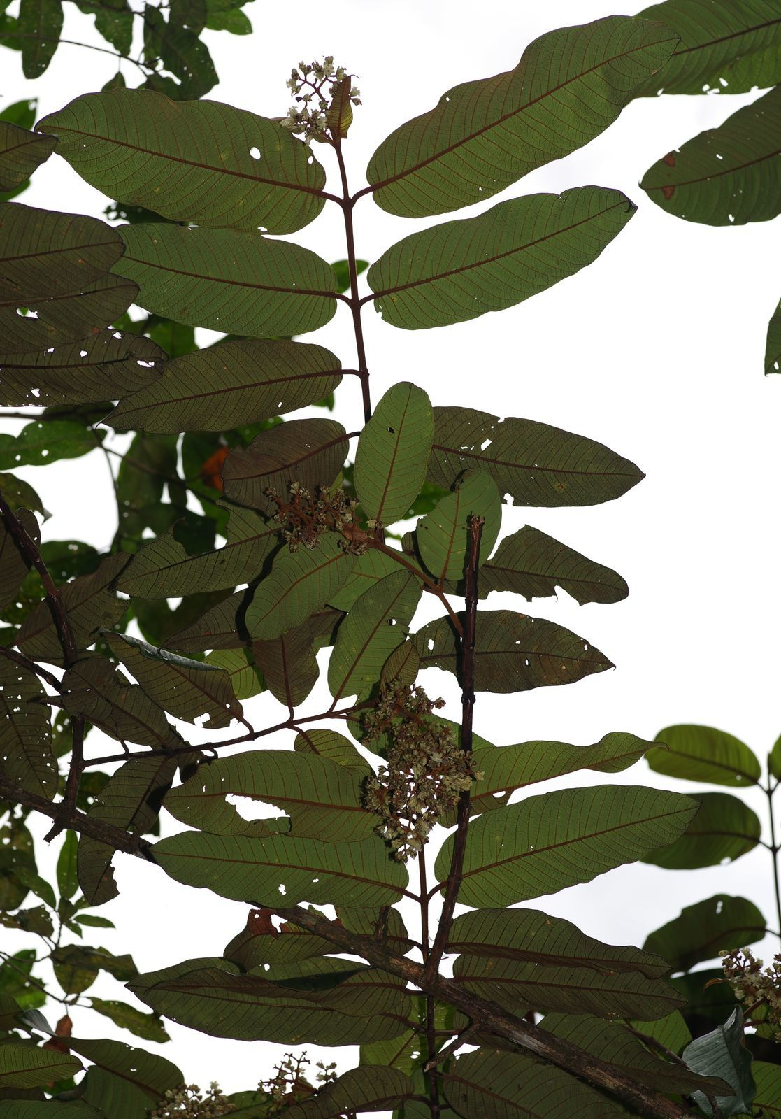 Vismia reticulata