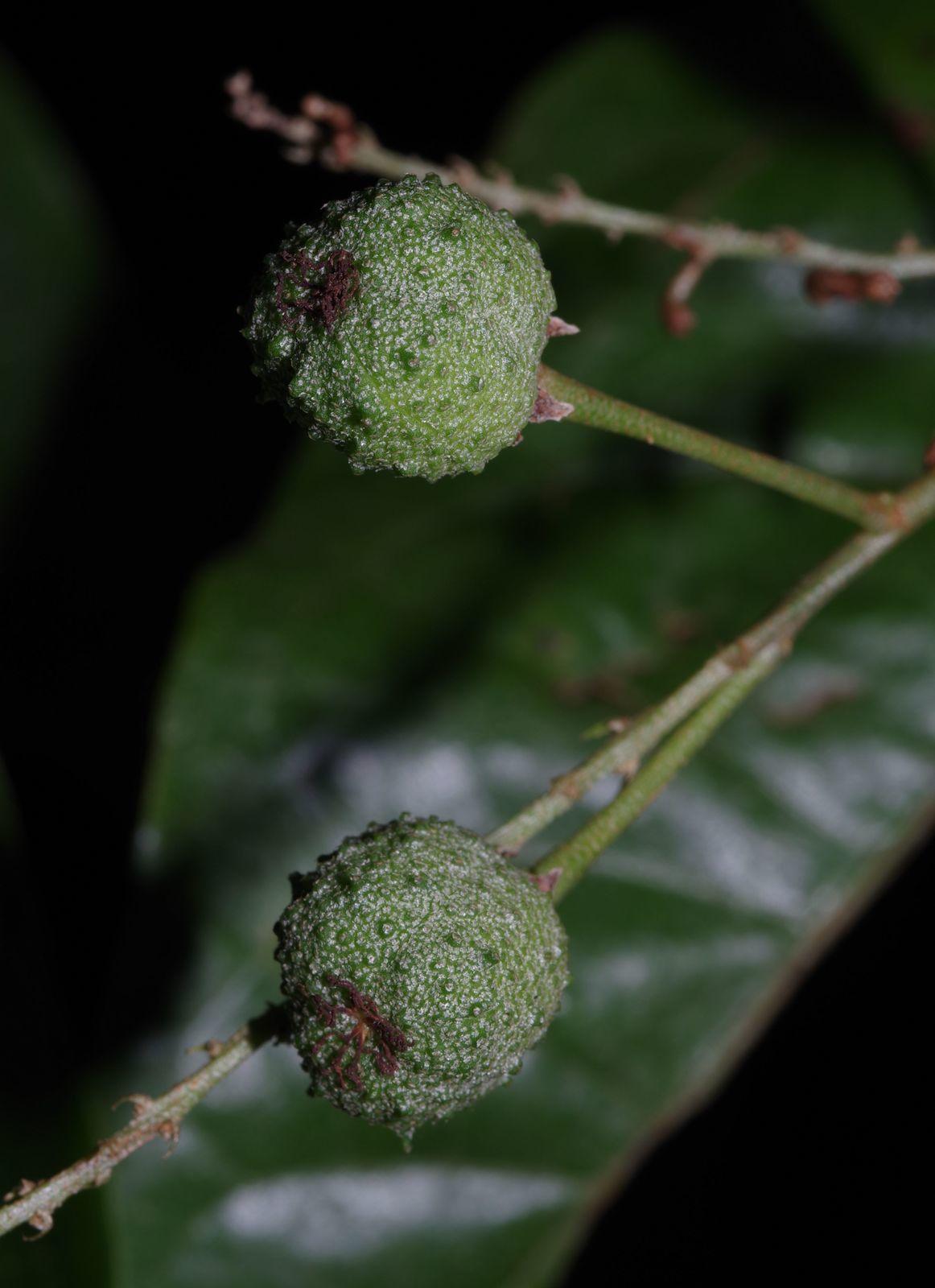 Croton schiedeanus
