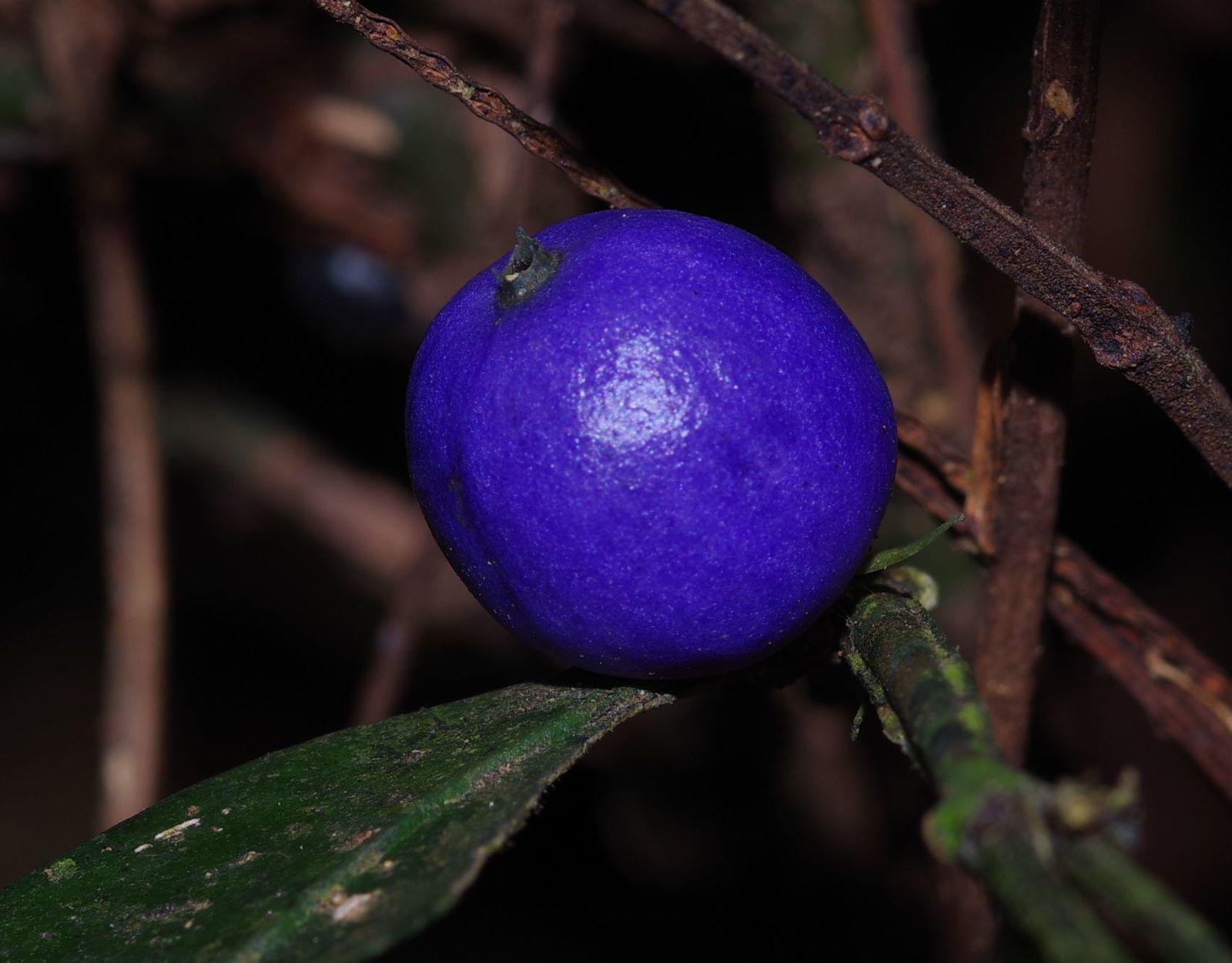 Faramea lourteigiana (bois-bandé)