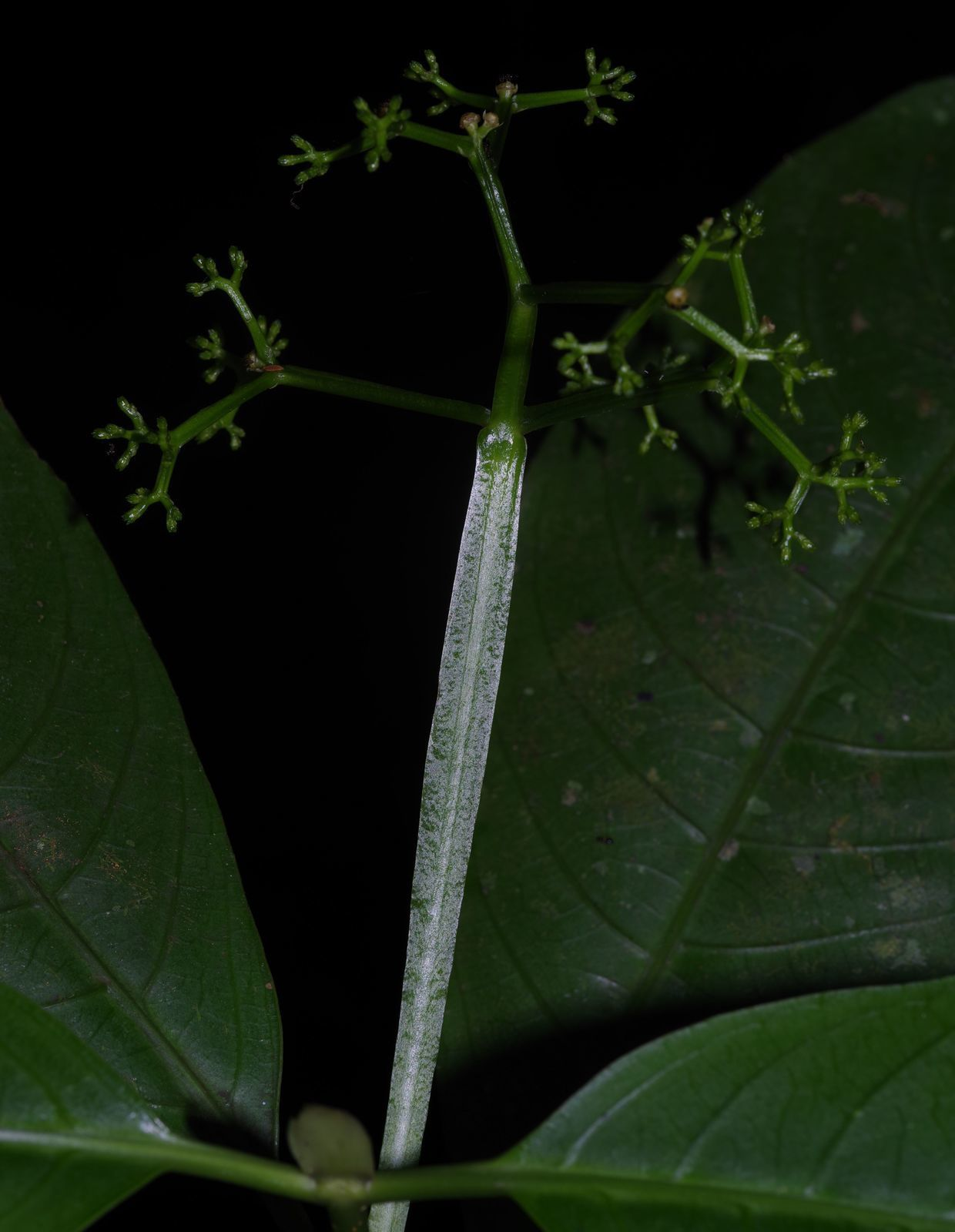 Rudgea stipulacea