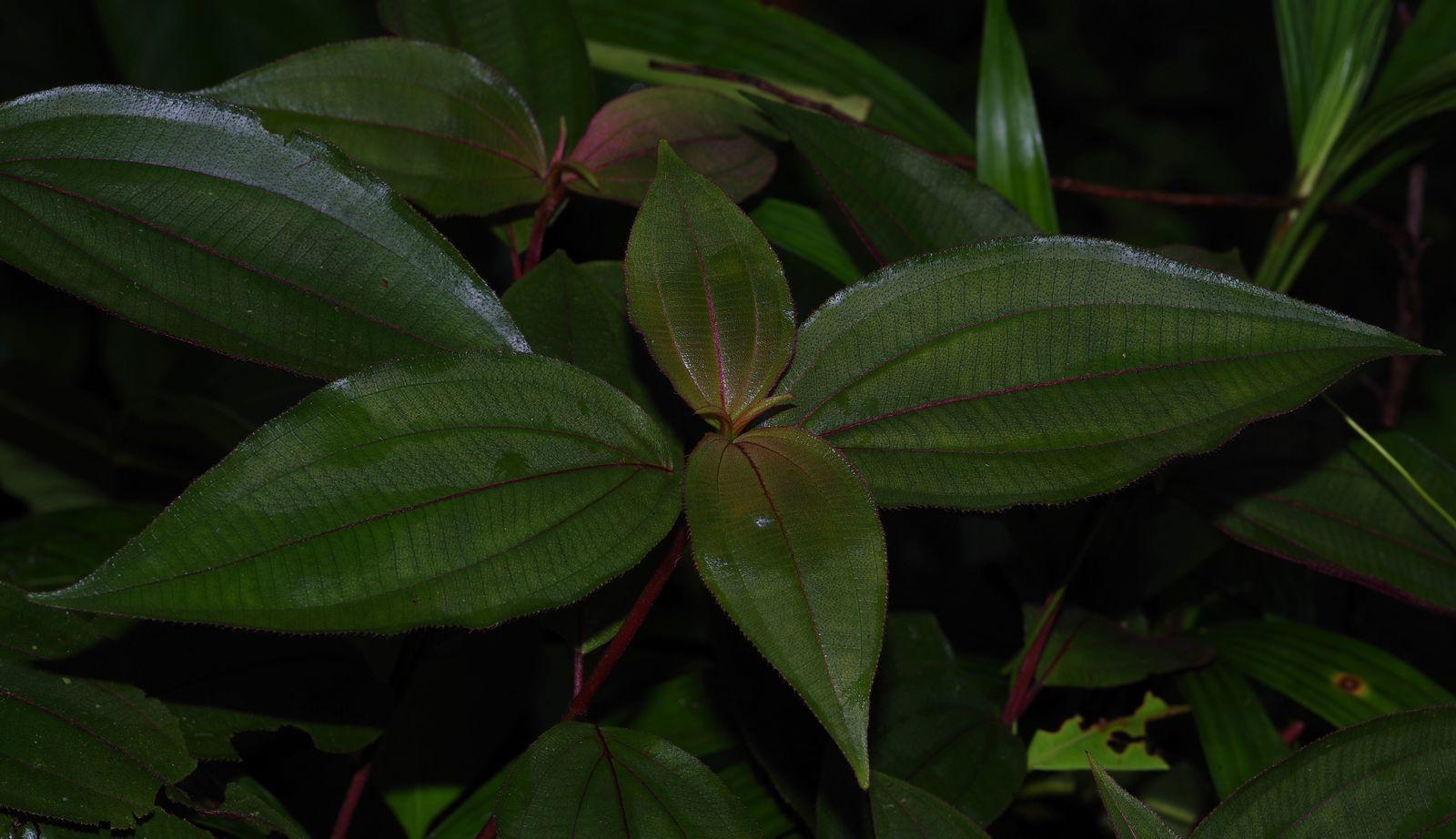 Miconia ceramicarpa var. ceramicarpa
