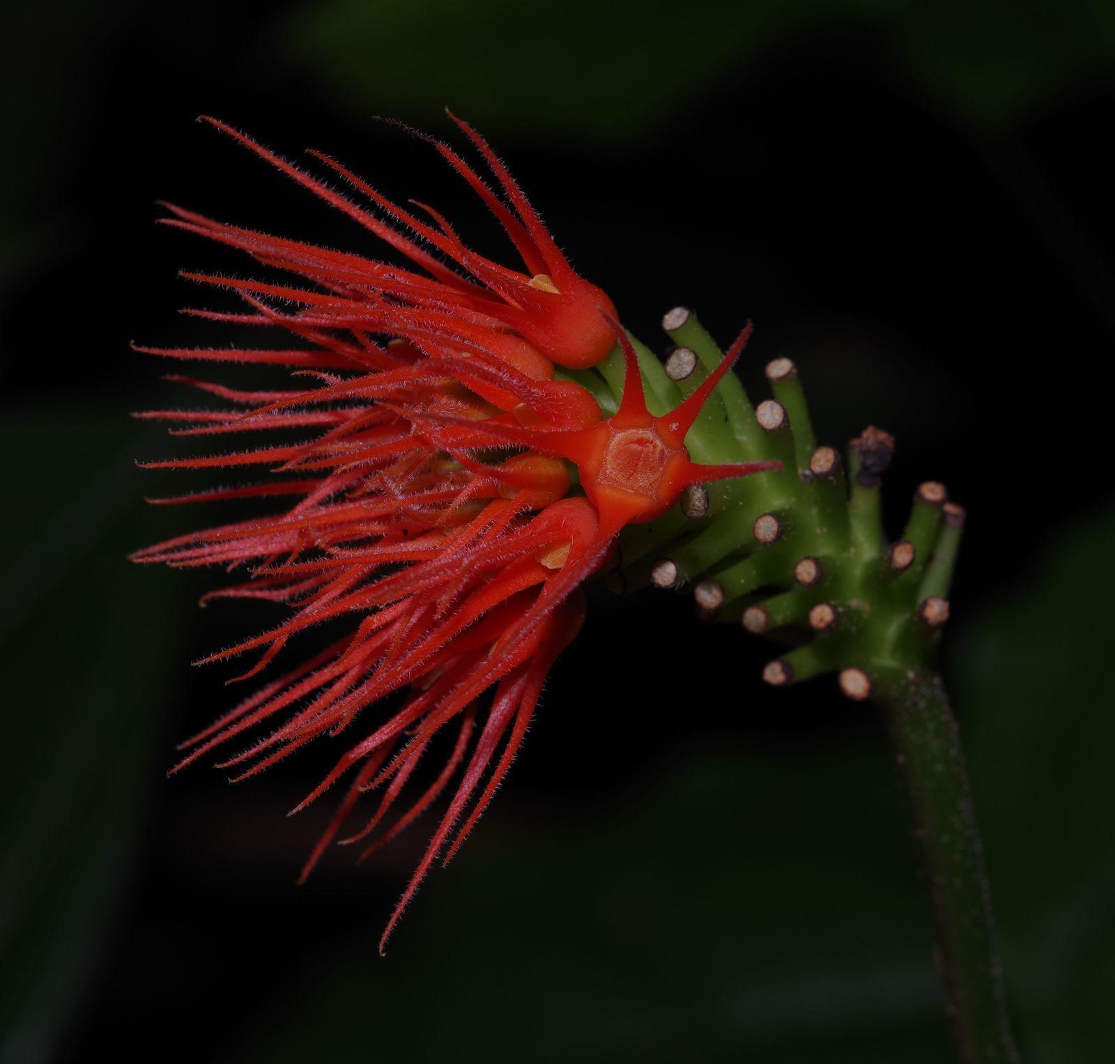 Gurania reticulata