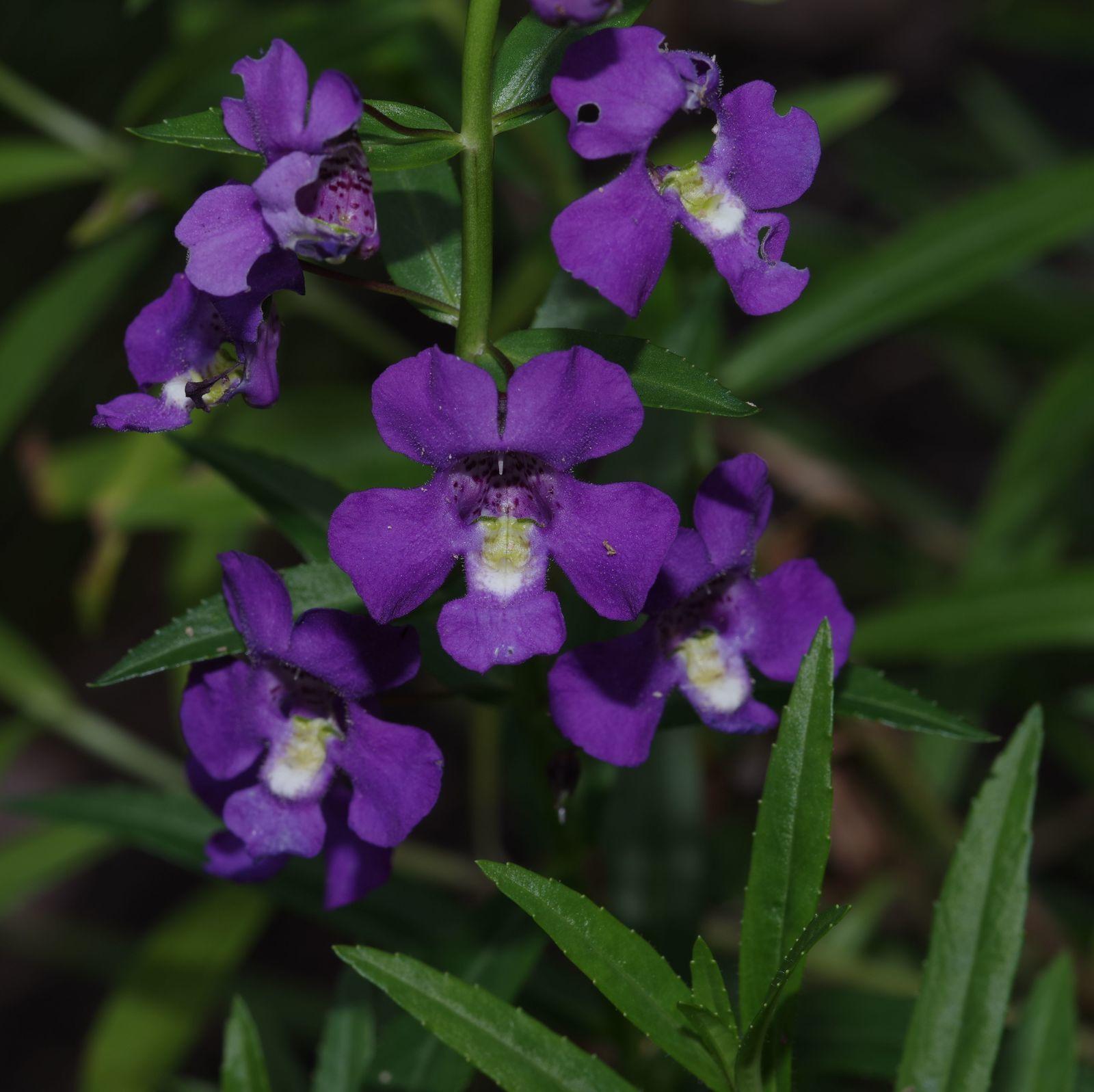 Angelonia minor