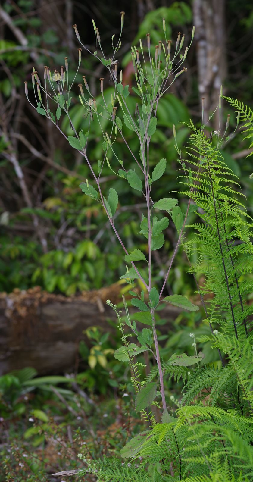 Porophyllum ruderale