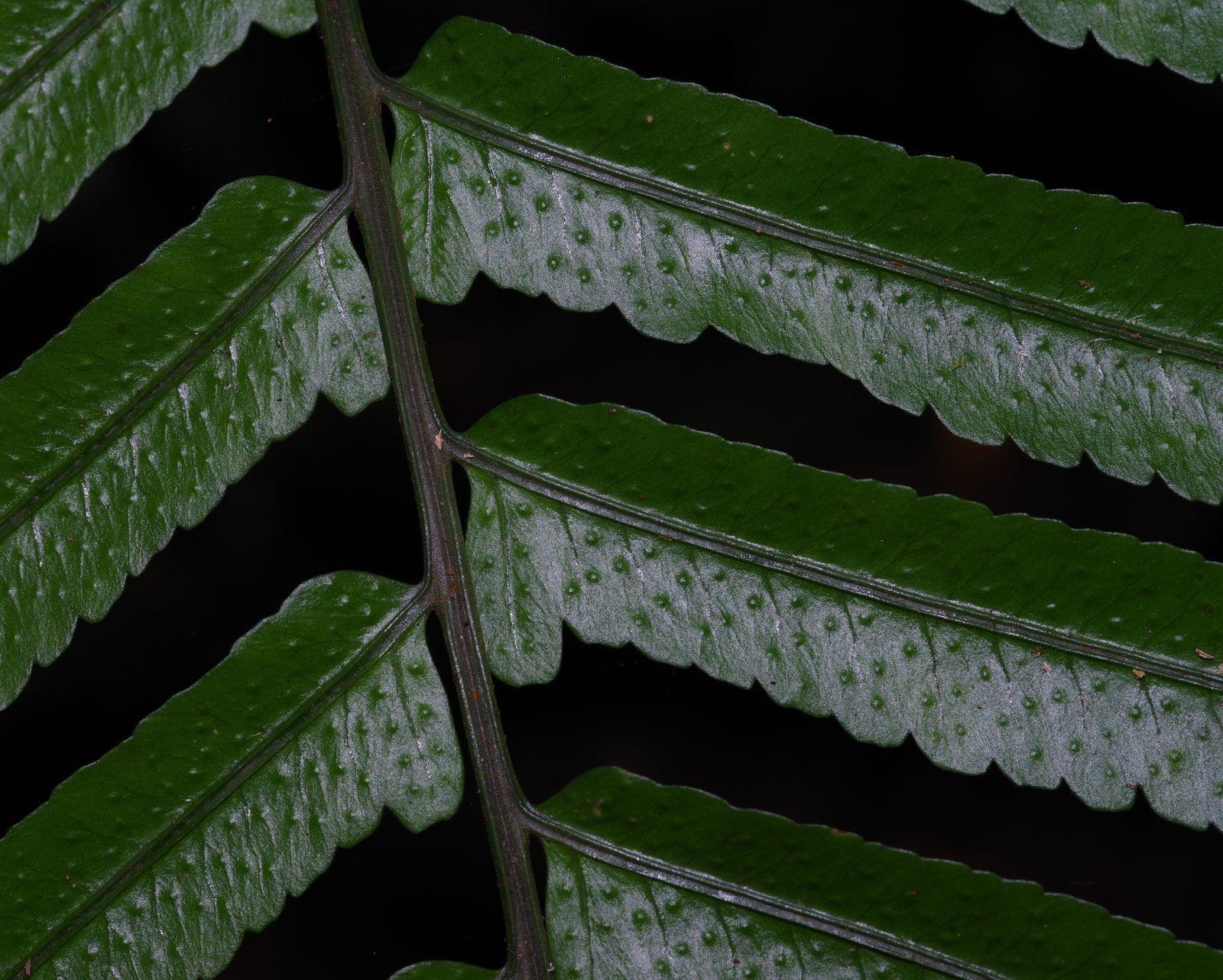 Cyclodium guianense