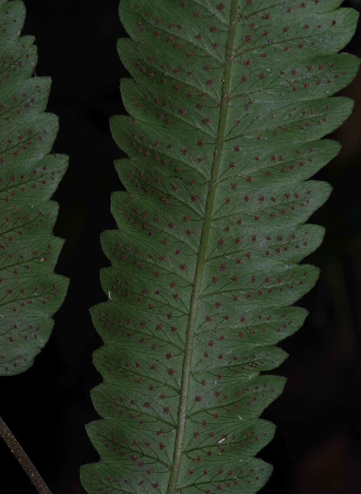 Goniopteris pennata