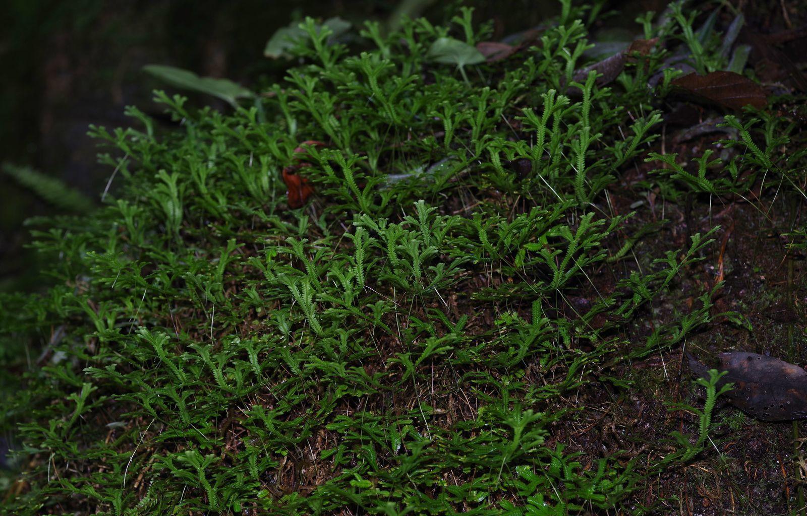Selaginella kochii