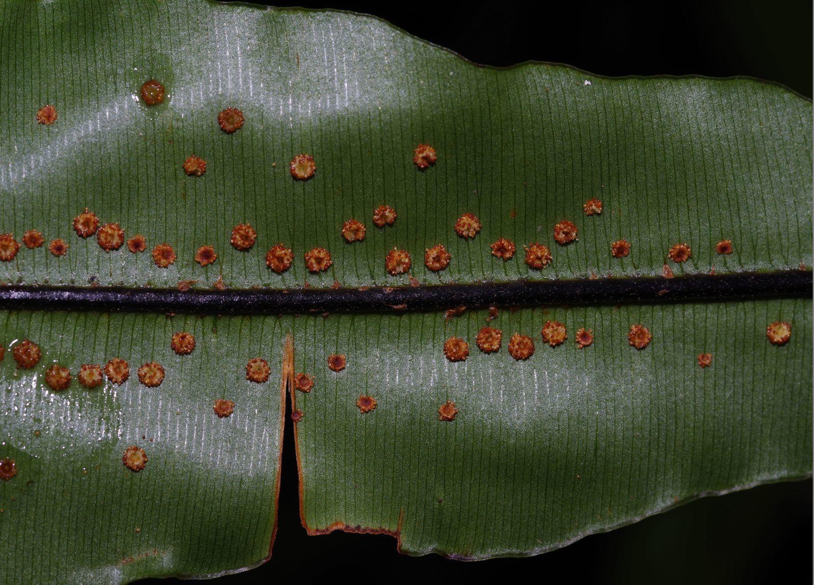 Oleandra articulata