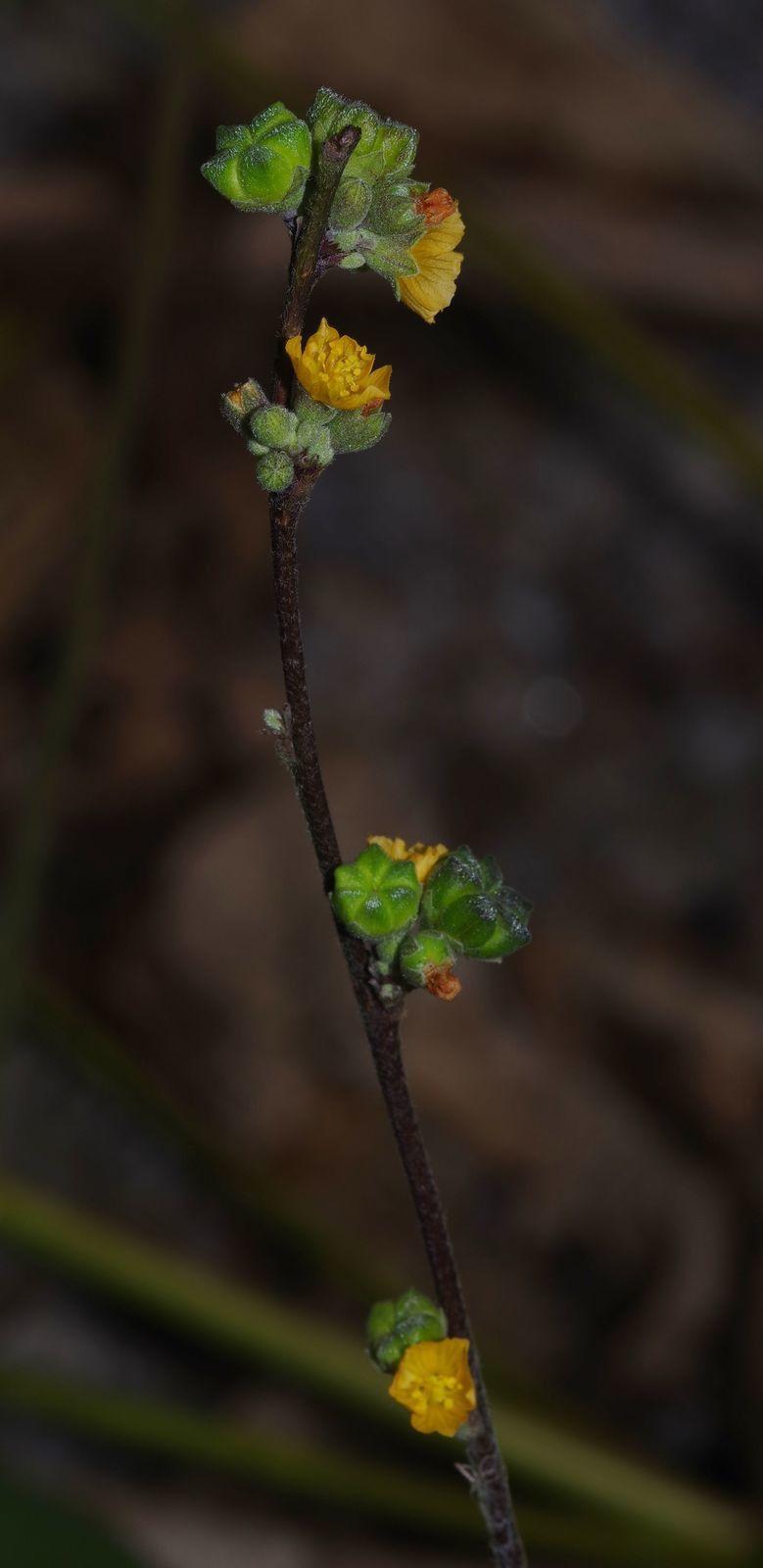 Briquetia spicata
