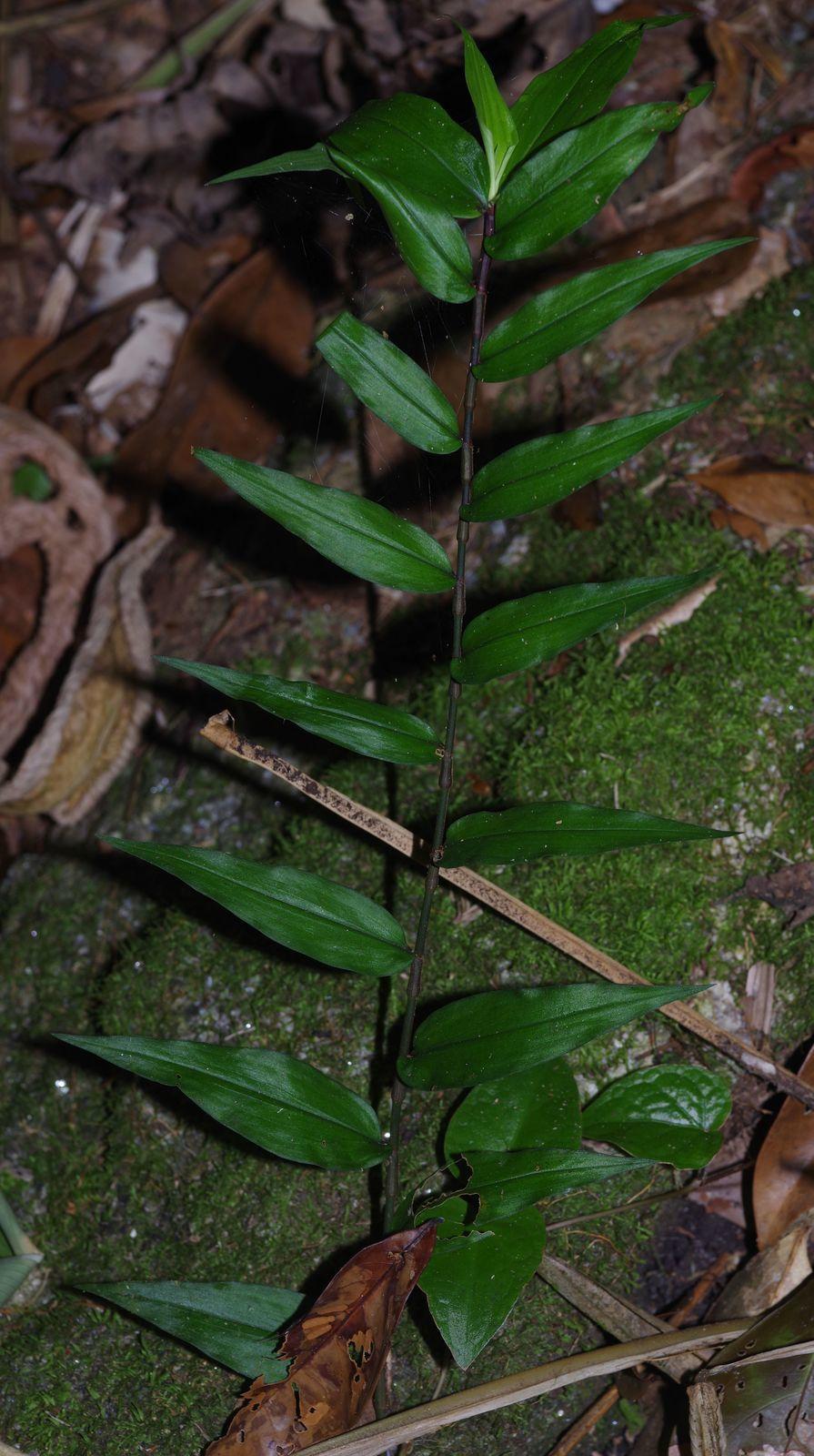 Commelina rufipes var. glabrata