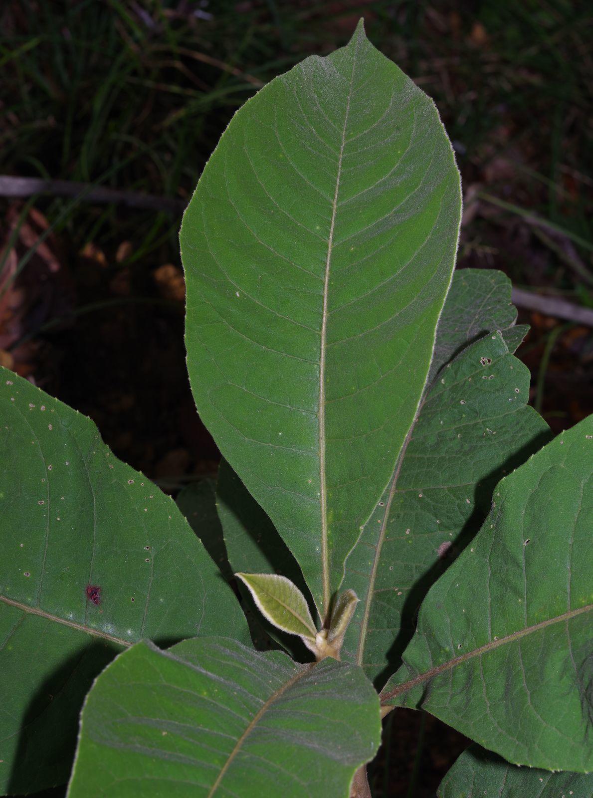Aegiphila integrifolia