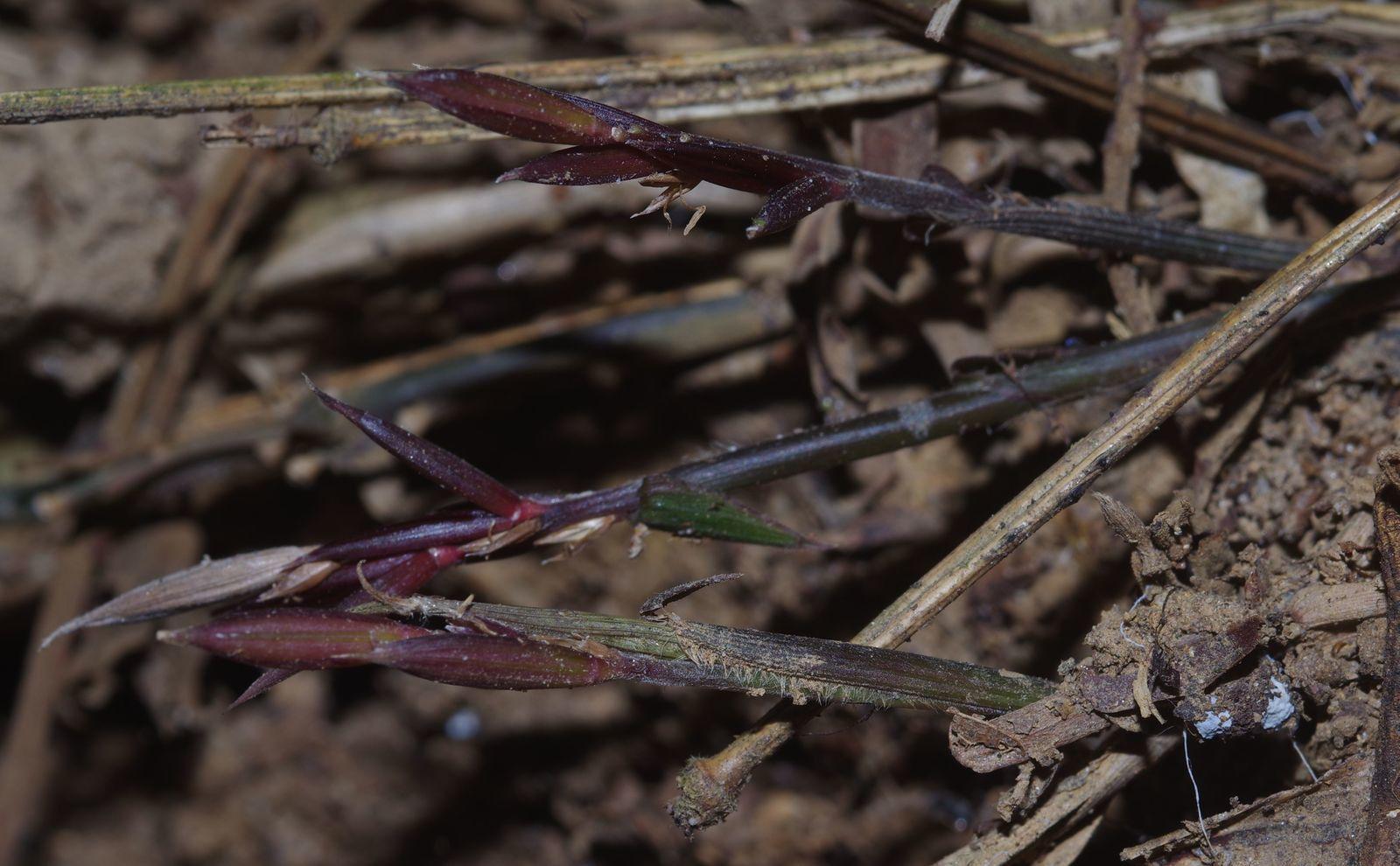 Piresia macrophylla
