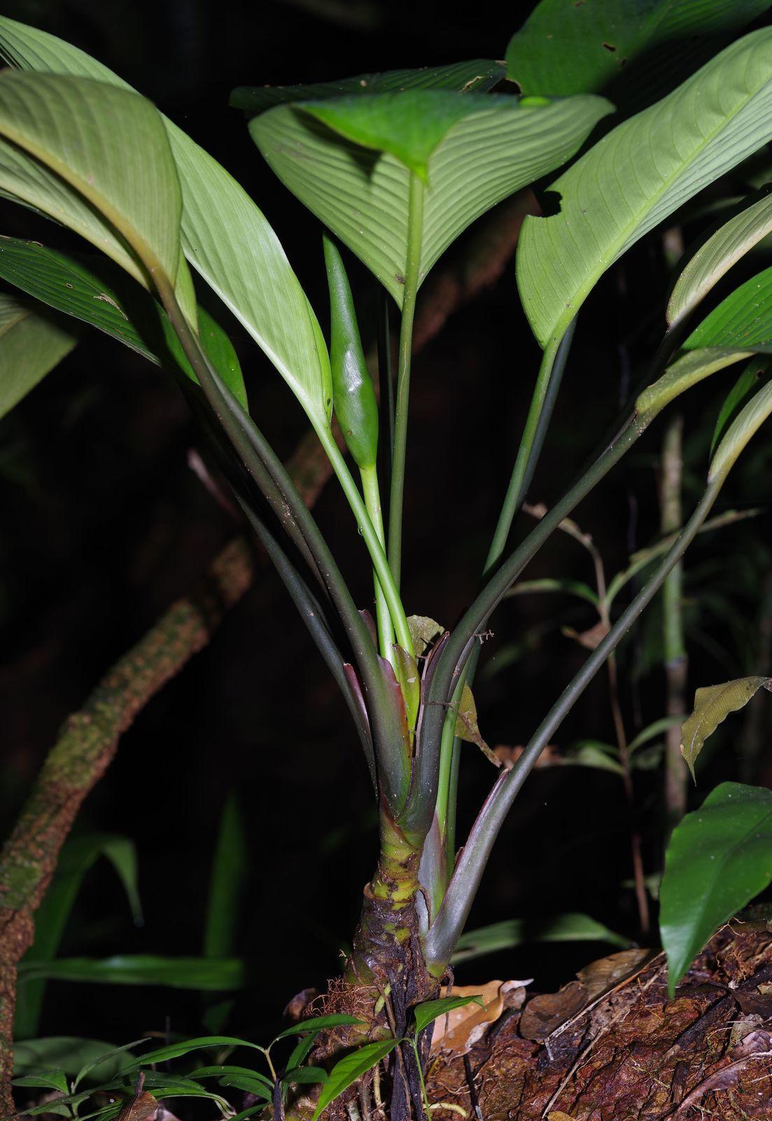 Dieffenbachia sp