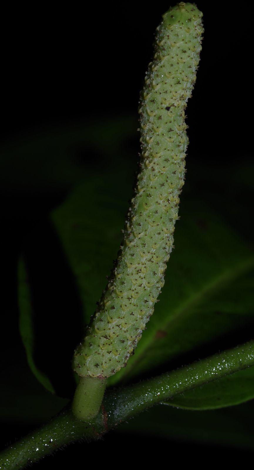 Piper demeraranum