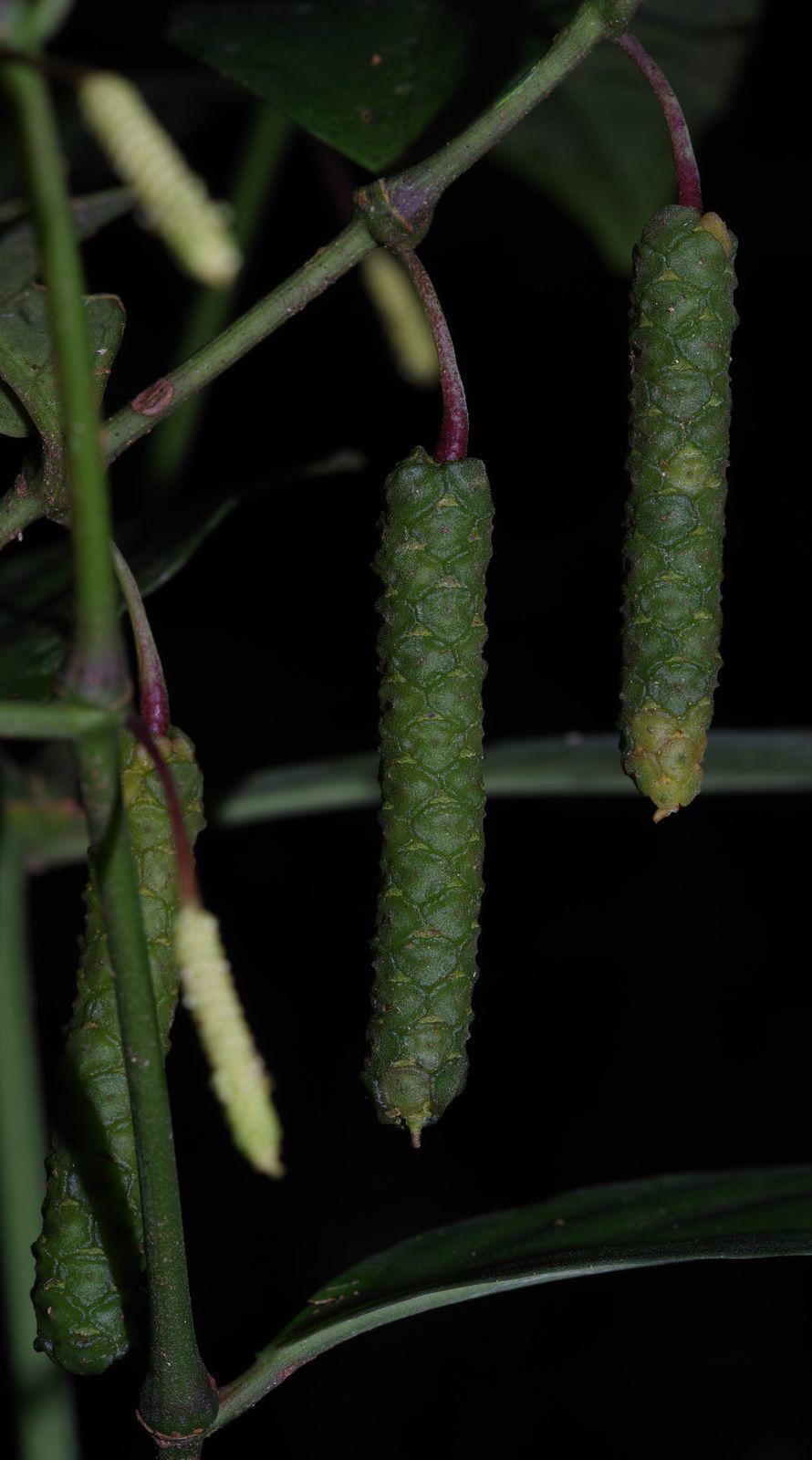 Piper nigrispicum