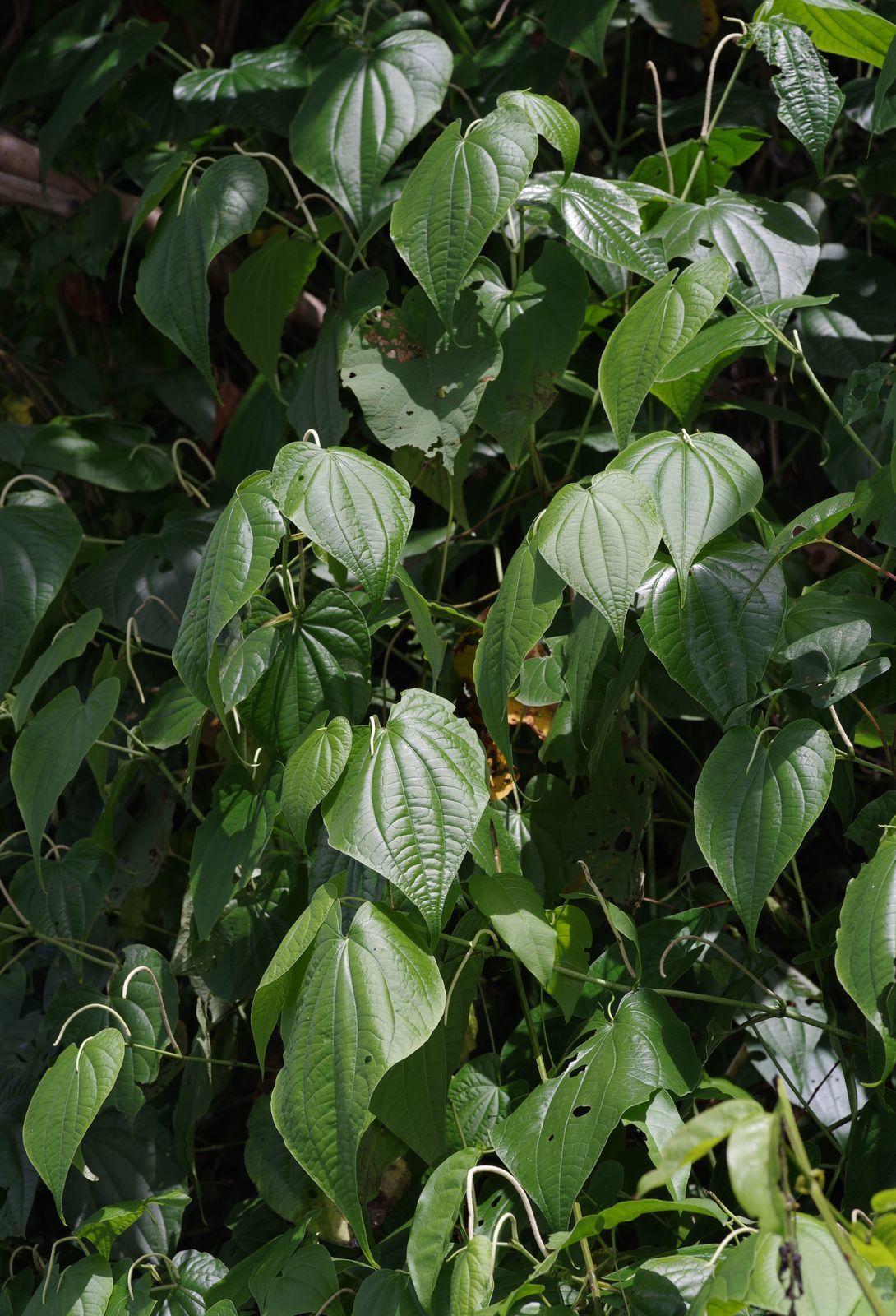 Piper marginatum