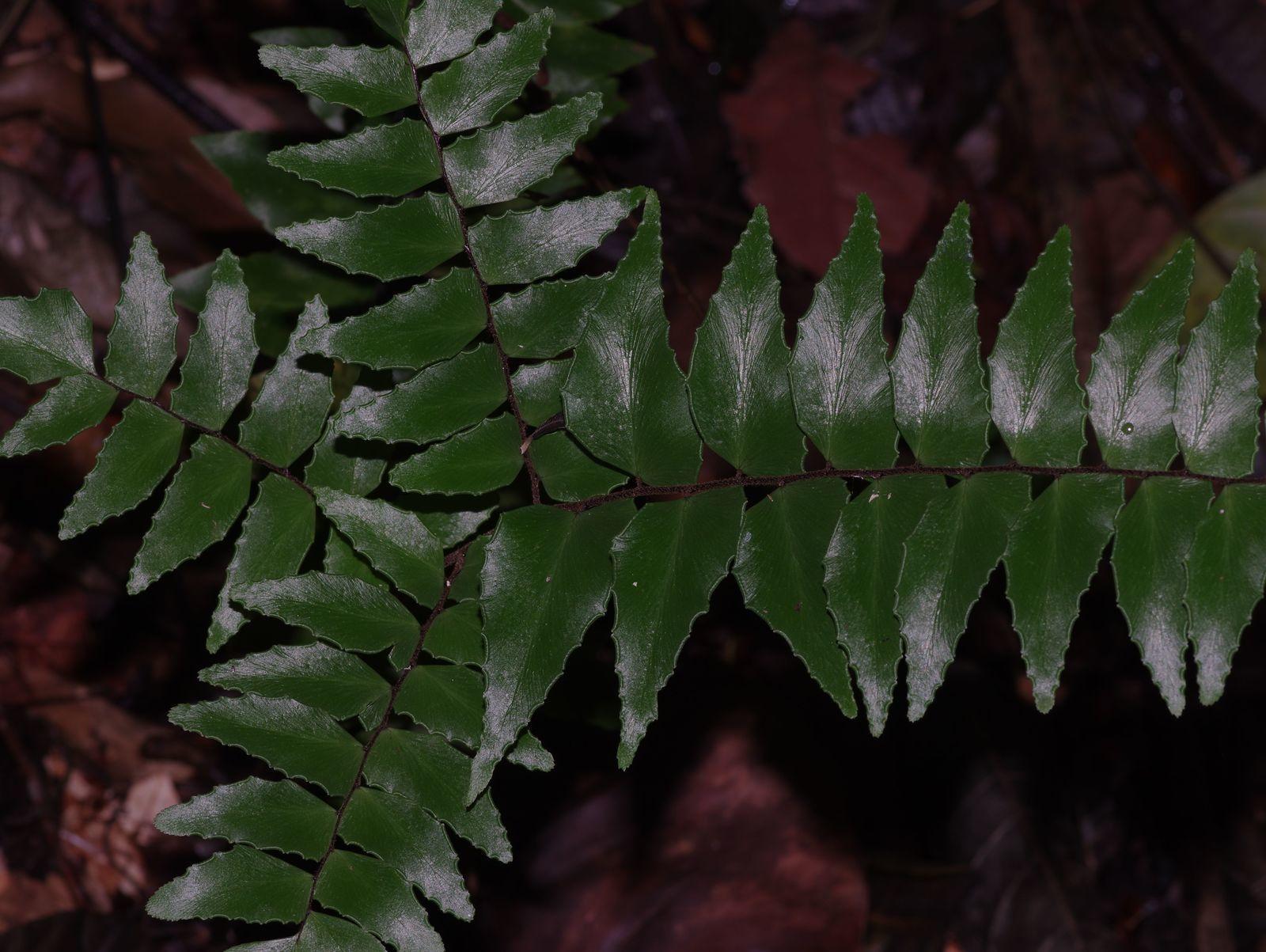 Adiantum latifolium