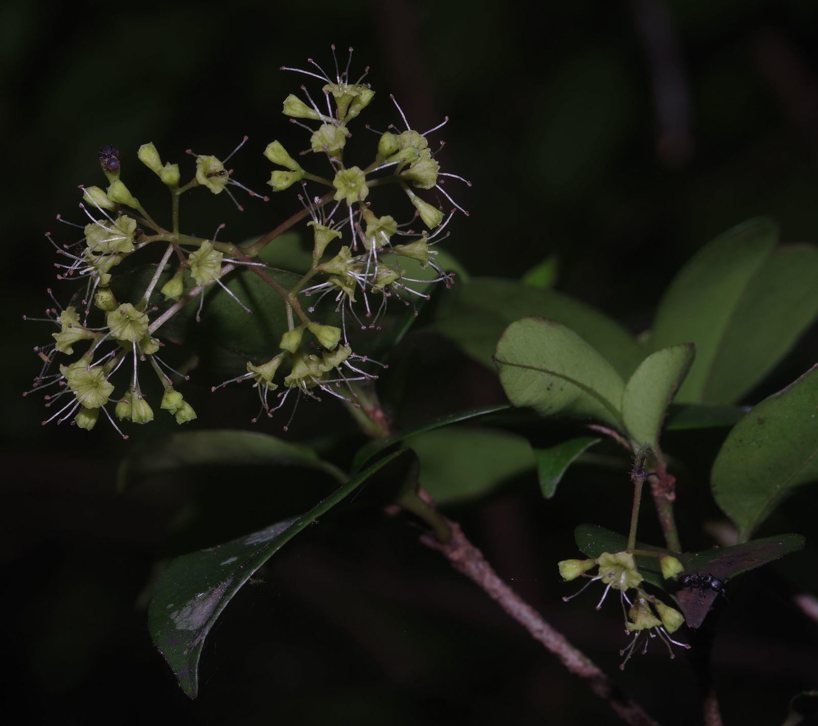 Guapira eggersiana