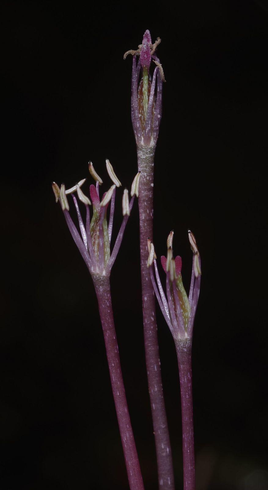 Marathrum capillaceum