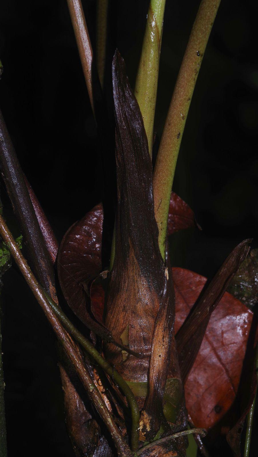 Anthurium sagittatum