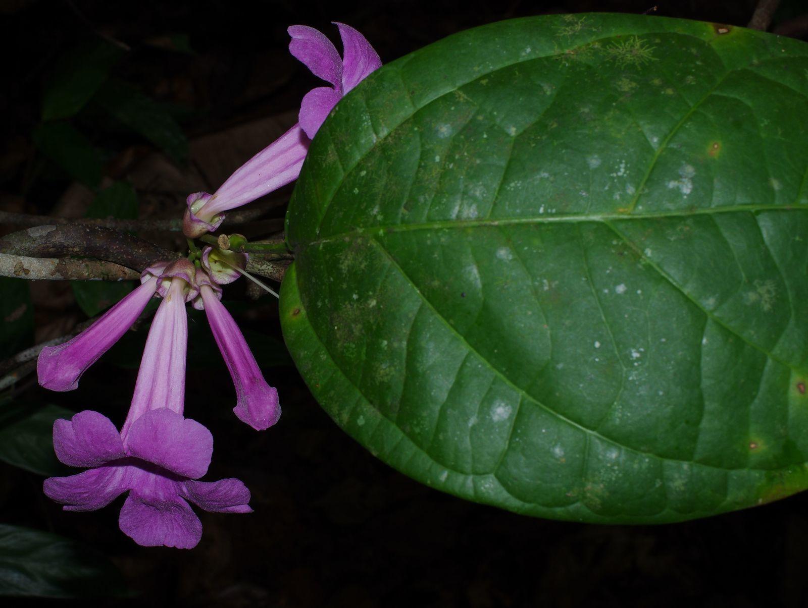 Bignonia noterophila
