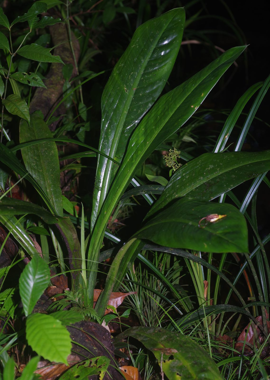 Dieffenbachia paludicola