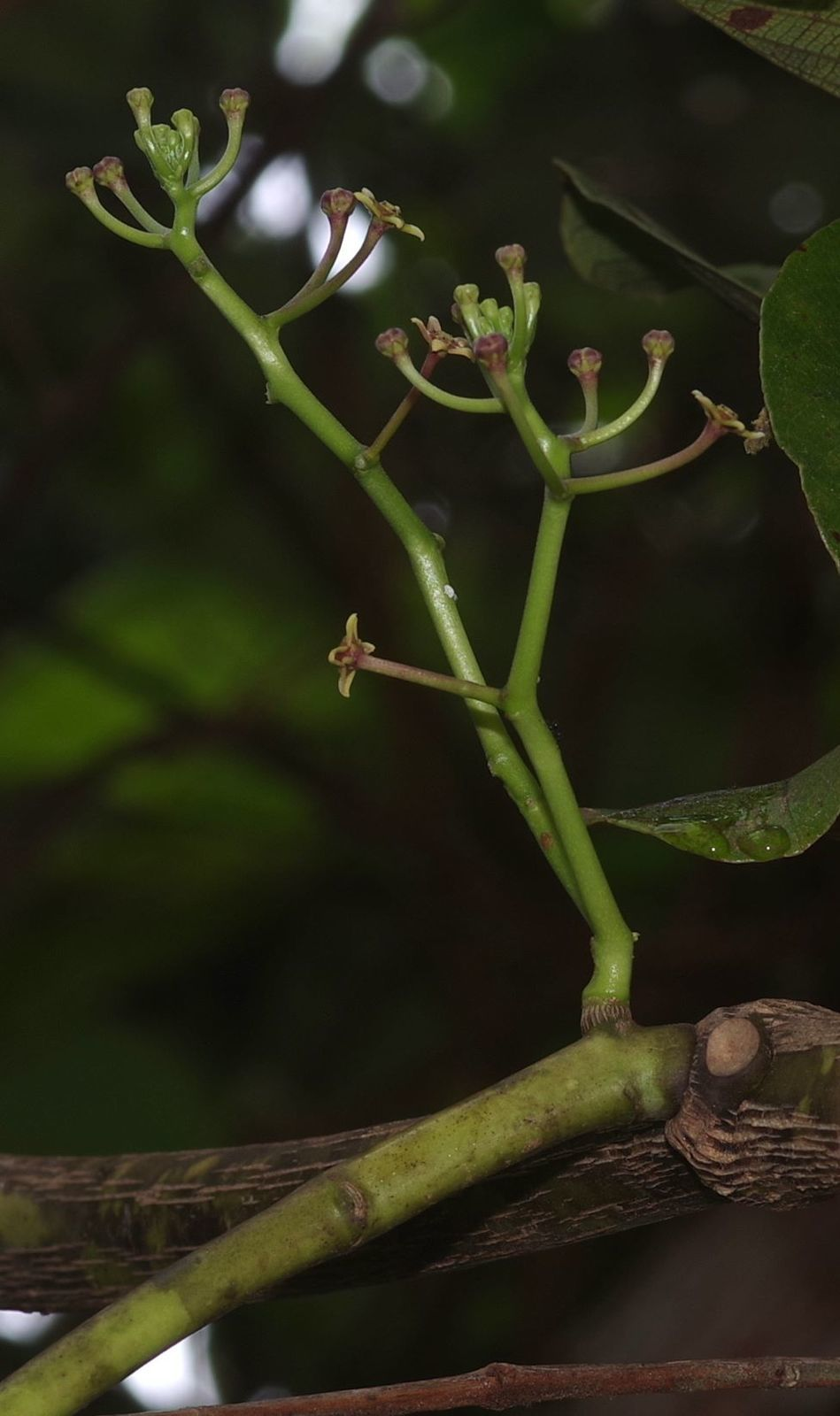Cynanchum gilbertii