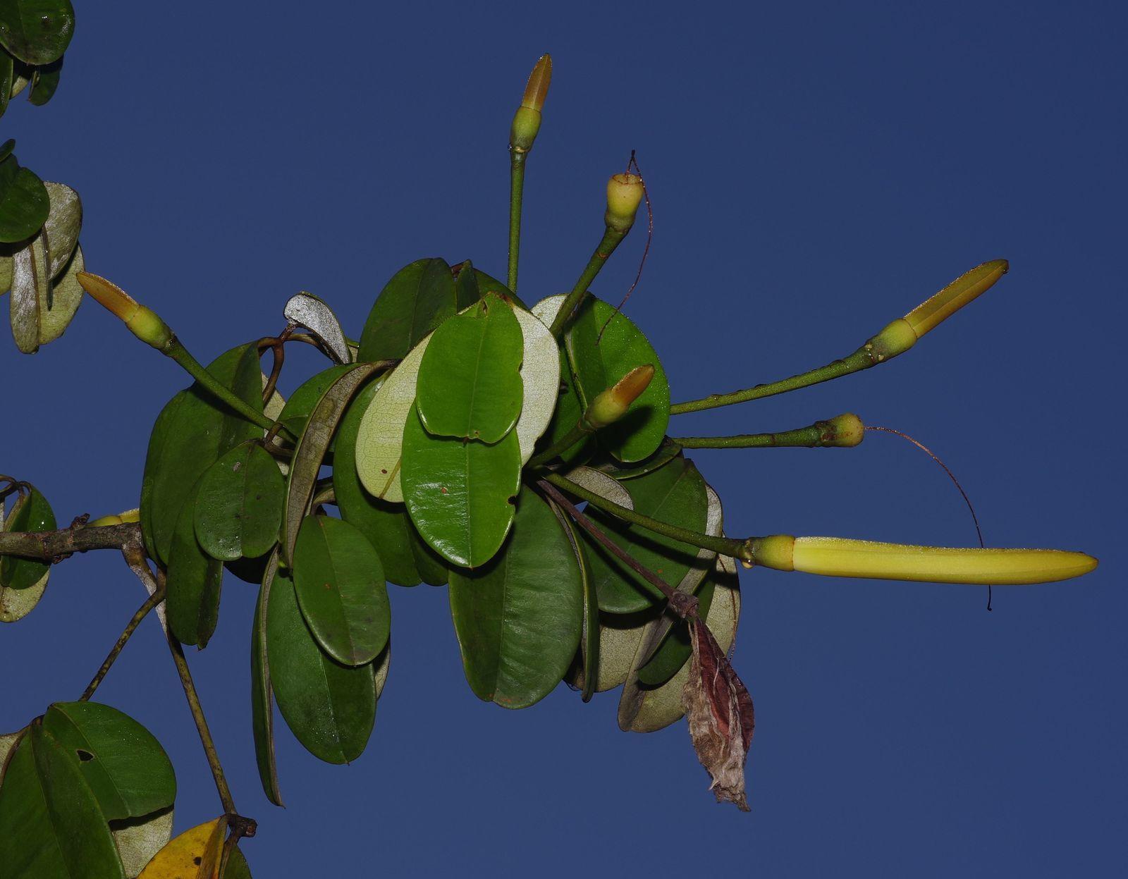 Pachira flaviflora