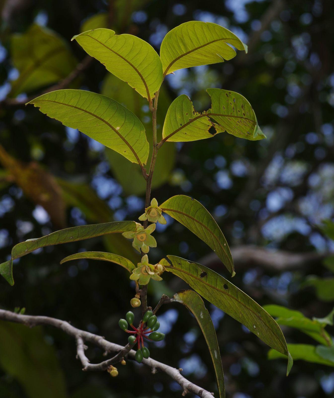 Guatteria richardii