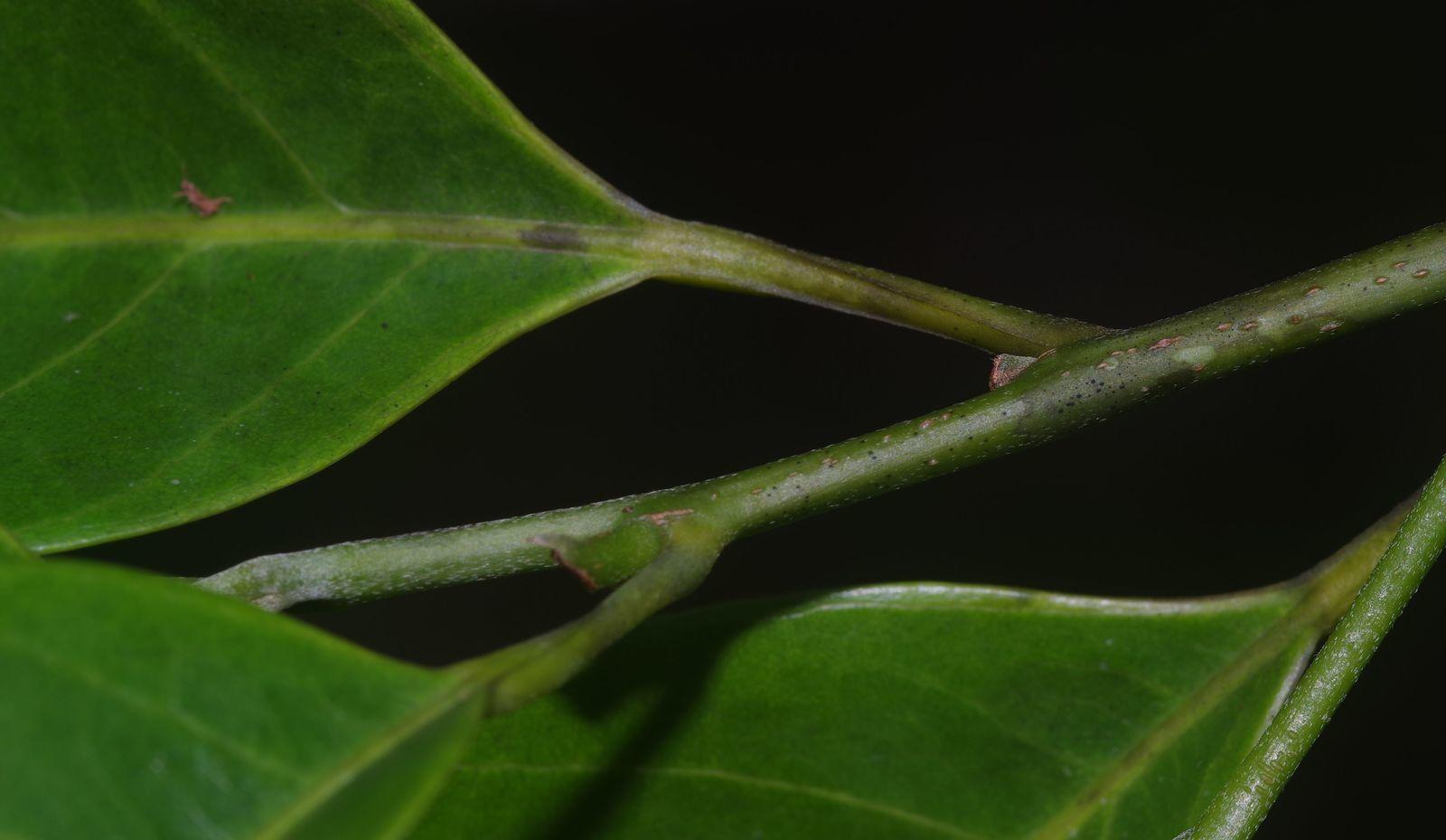 Pogonophora schomburgkiana