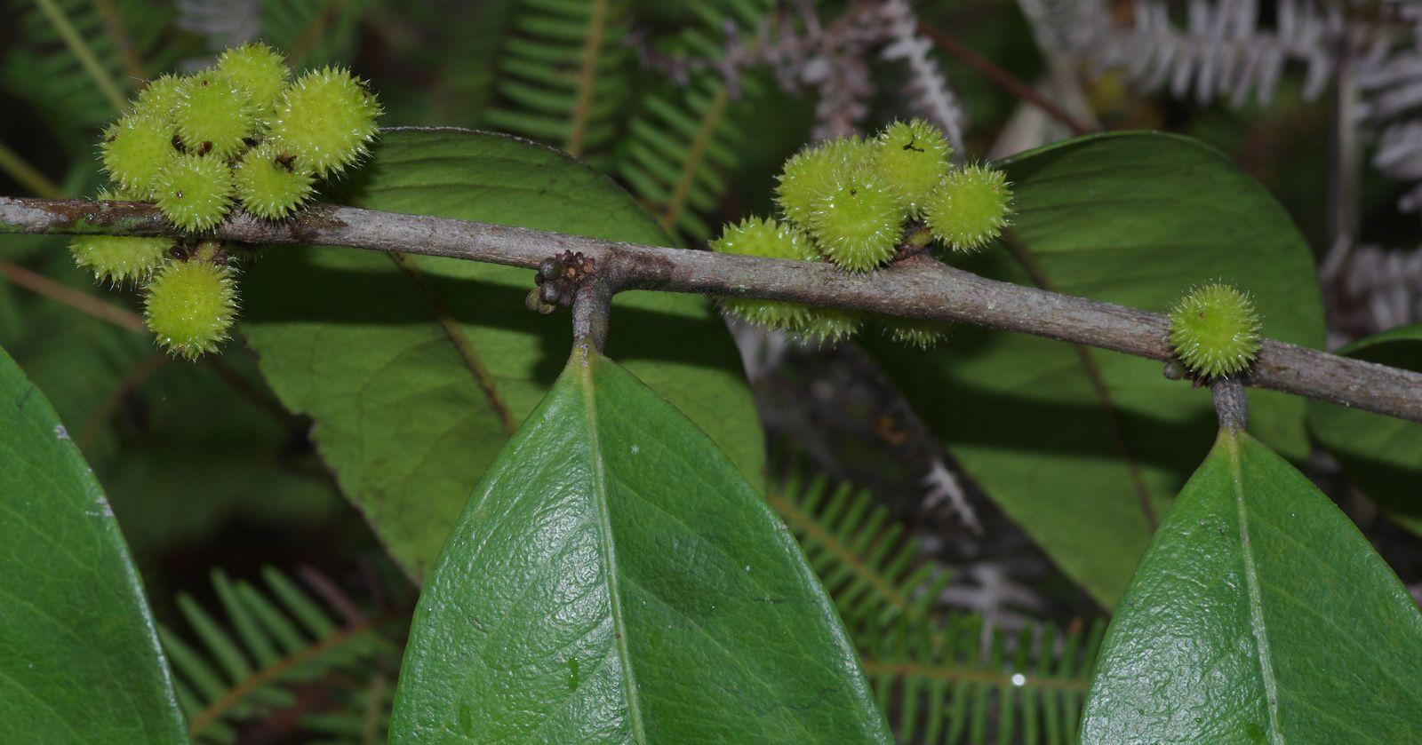 Chaetocarpus schomburgkianus