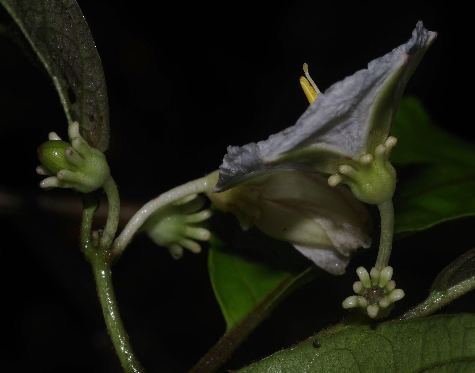 Lycianthes pauciflora