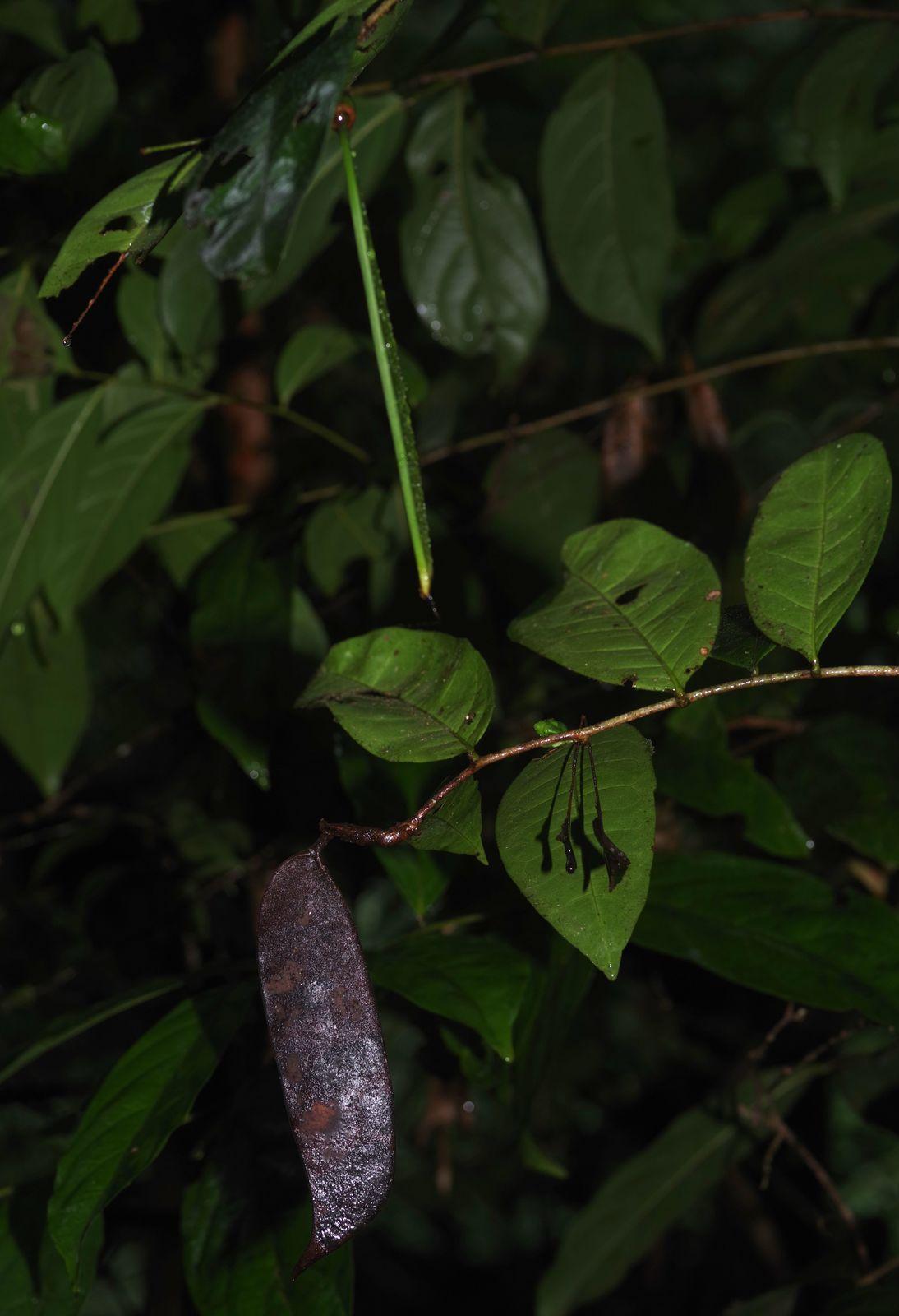 Paloue guianensis