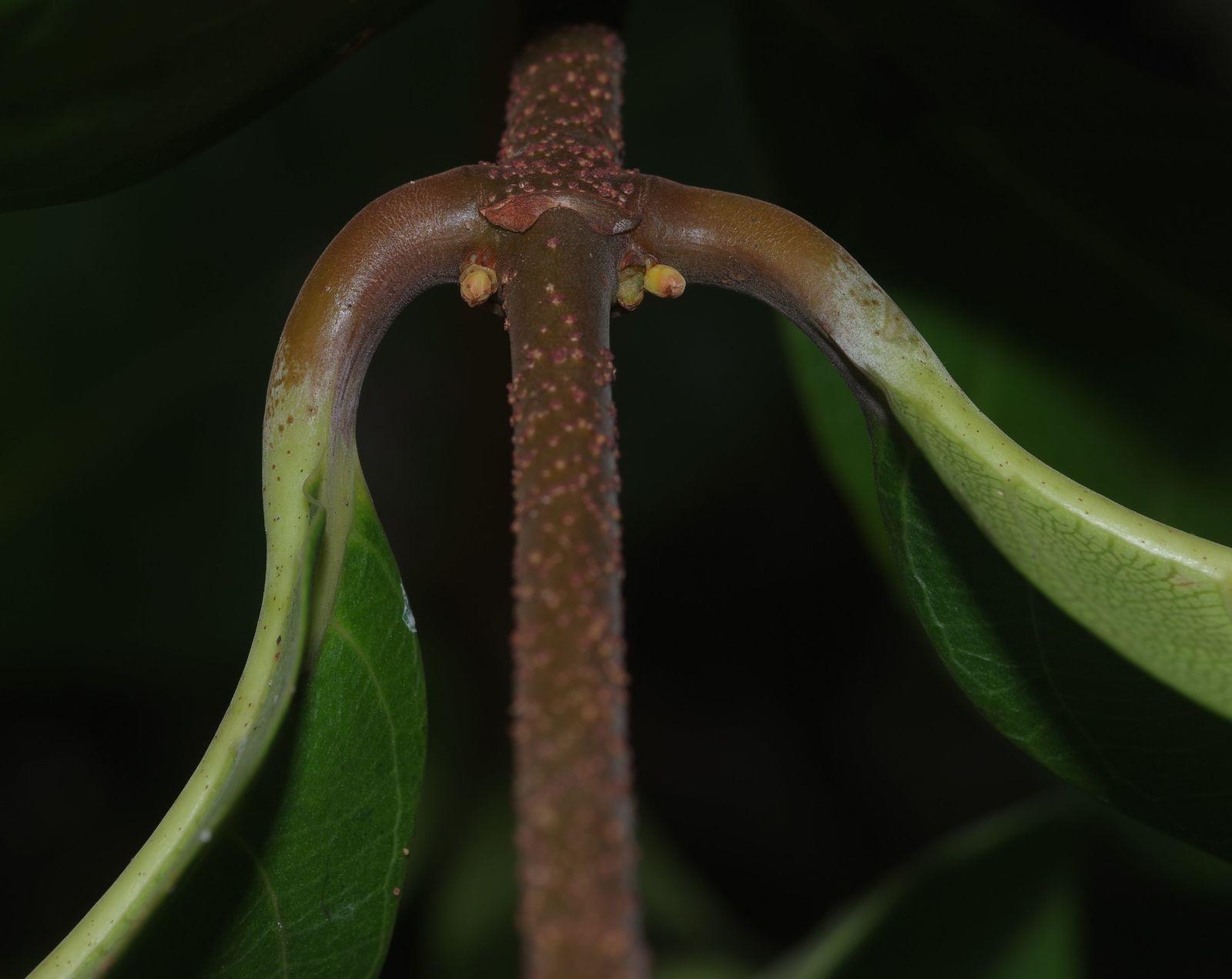 Odontadenia verrucosa