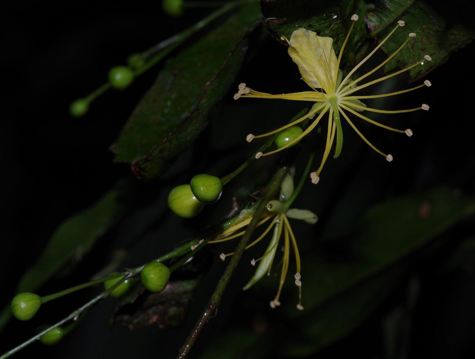 Swartzia arborescens