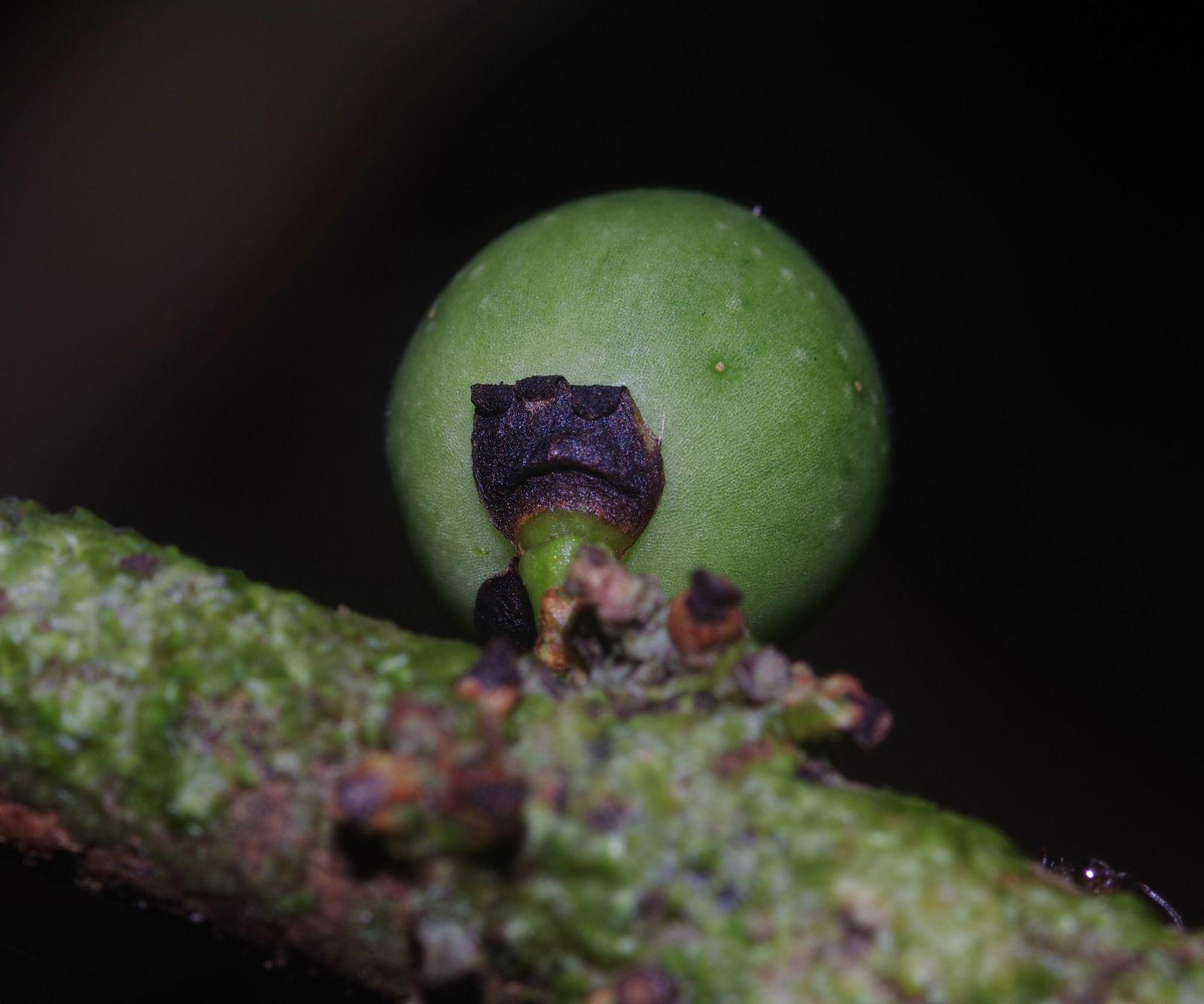 Daphnopsis granitica