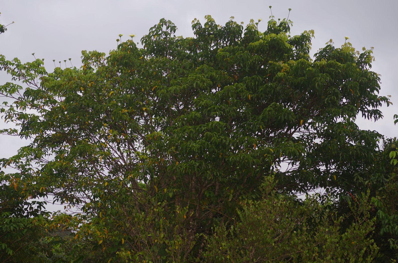 Caryocar microcarpum (chawari-dlo)
