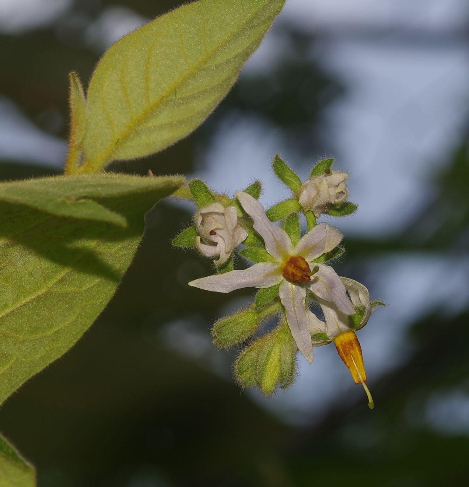 Solanum velutinum