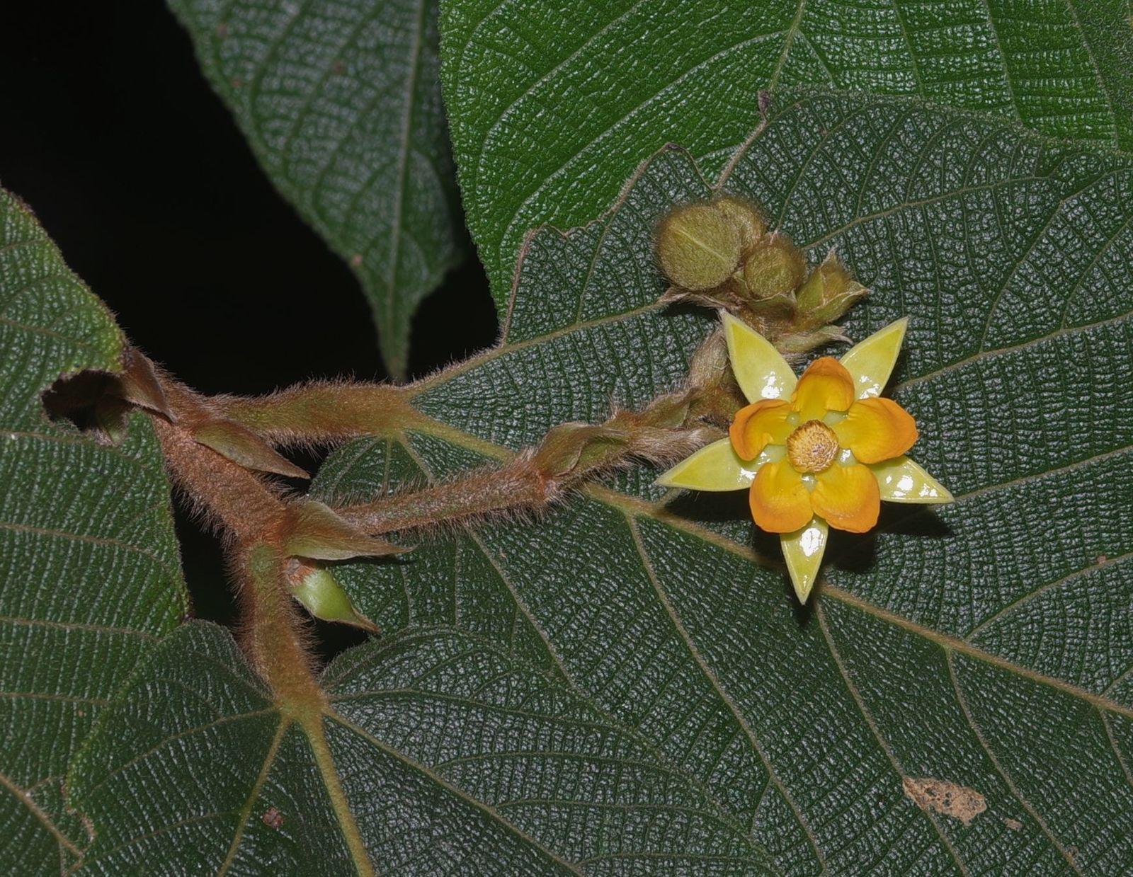 Apeiba tibourbou (bois bouchon, peigne macaque)