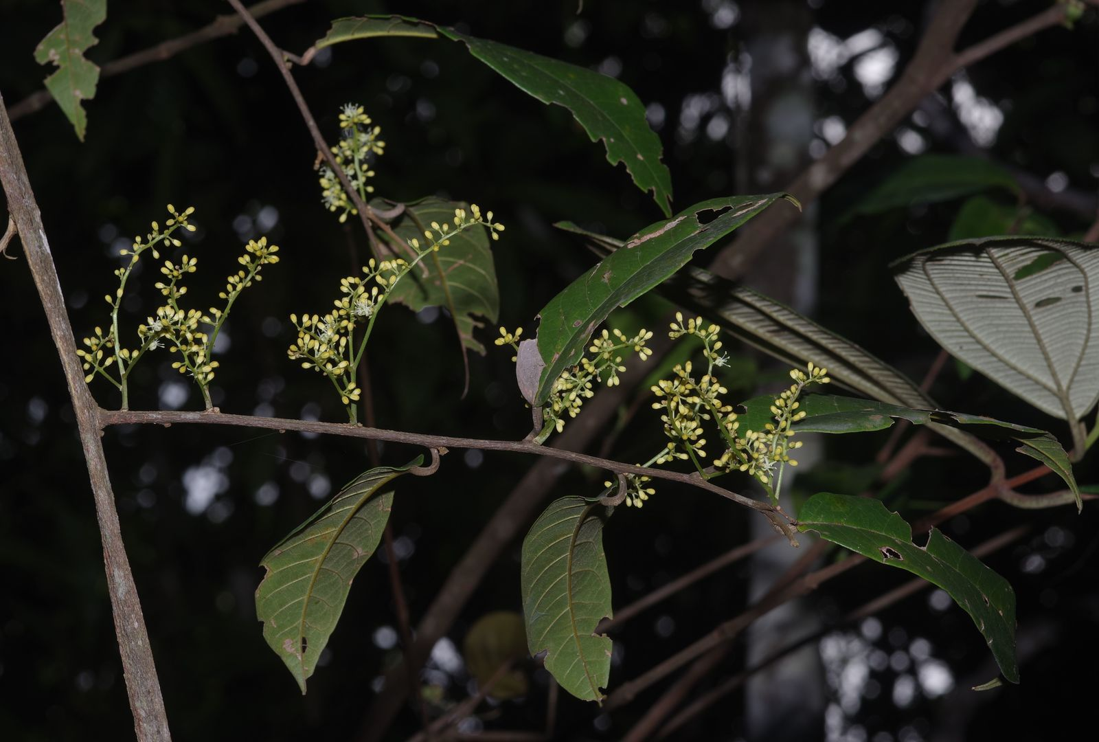 Pleurisanthes parviflora