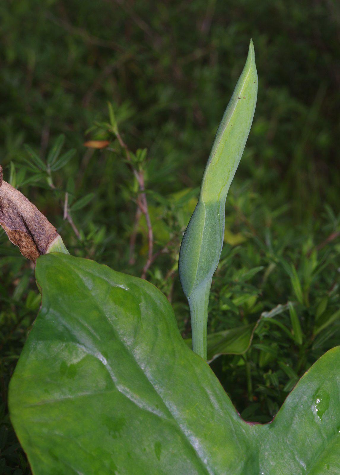Caladium bicolor (chou crayove)