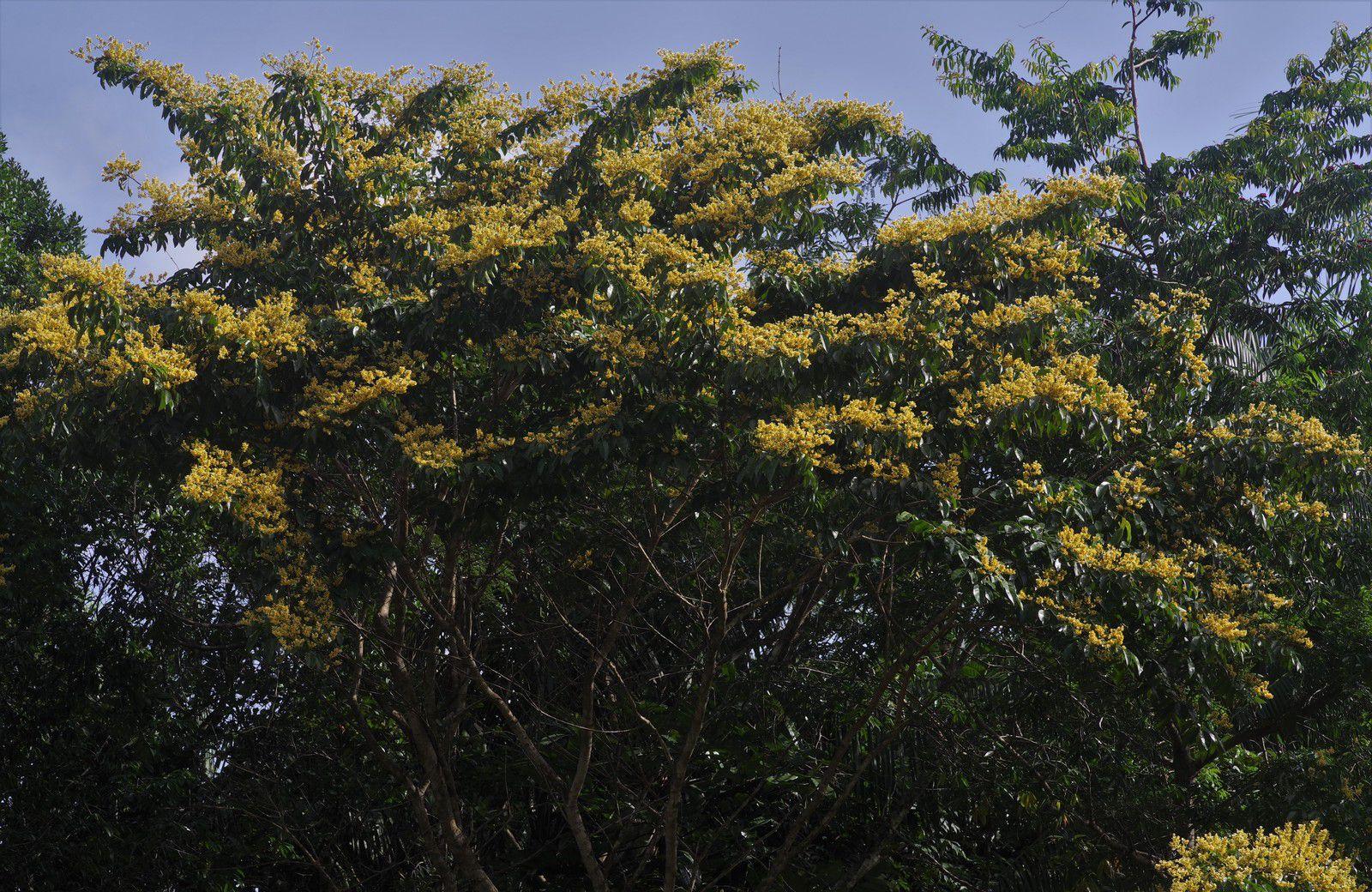 Pterocarpus officinalis (moutouchi rivière, moutouchi marécage)